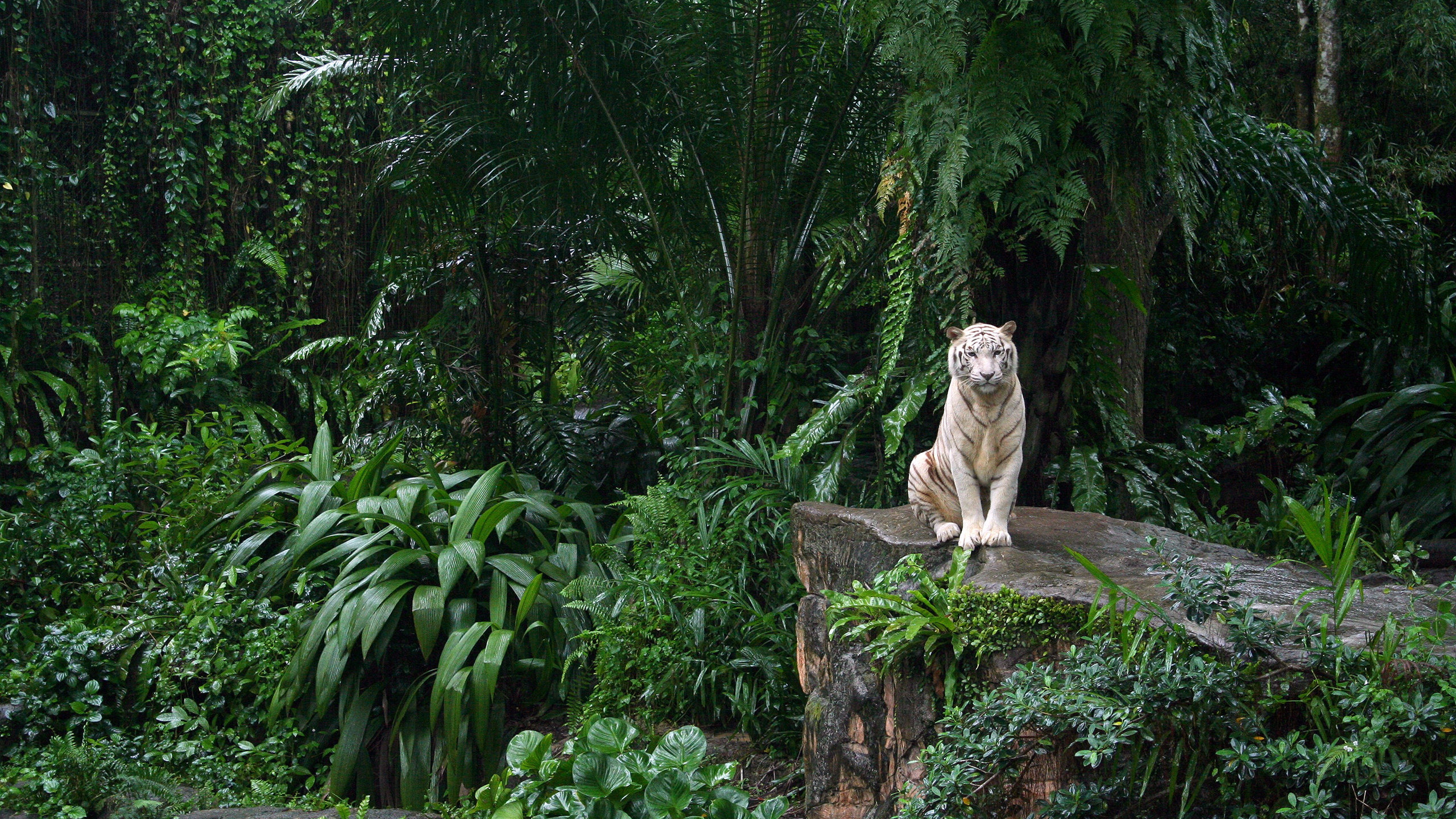 High resolution White Tiger hd 2560x1440 wallpaper ID:174876 for desktop