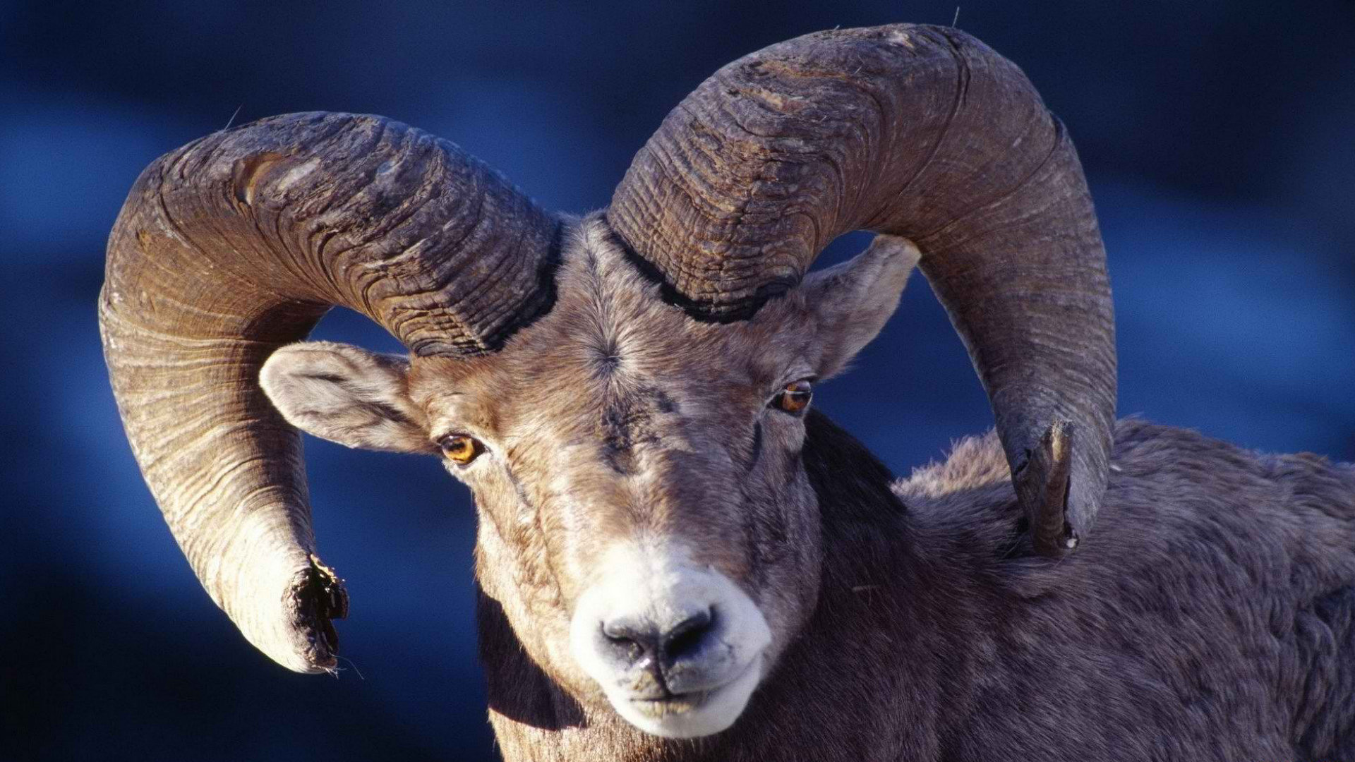 Download full hd 1080p Bighorn Sheep computer background ID:445221 for free