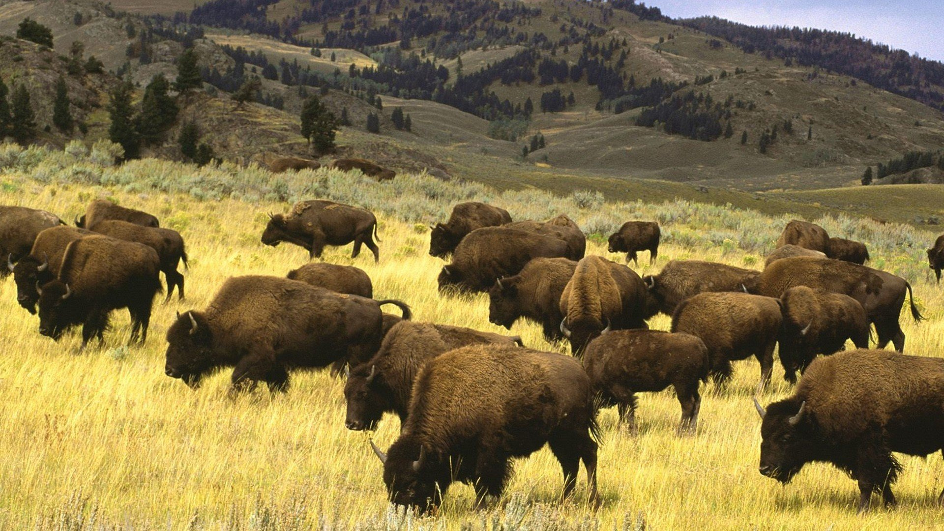 Best Bison wallpaper ID:130674 for High Resolution 1080p desktop