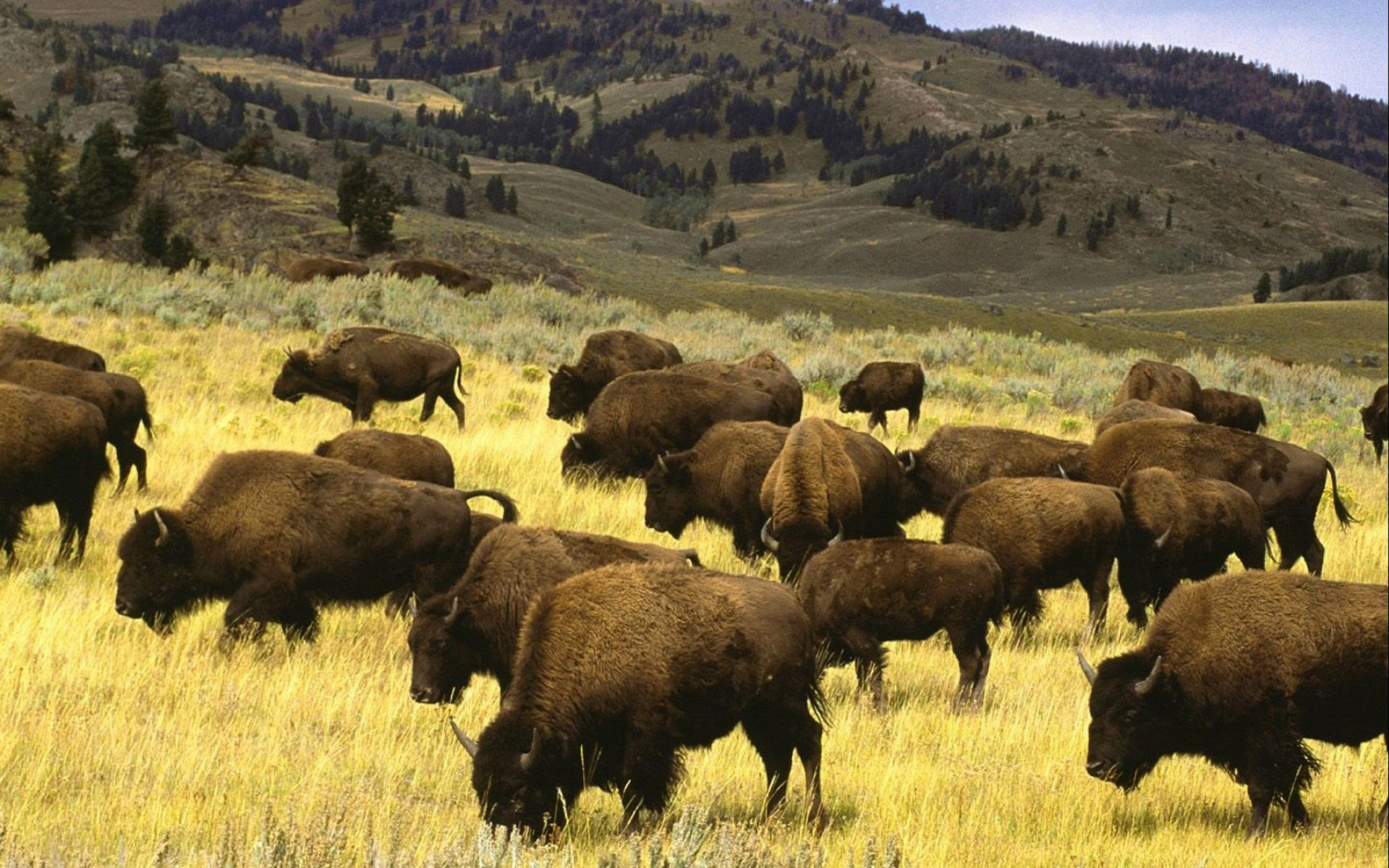 Best Bison wallpaper ID:130662 for High Resolution hd 1920x1200 computer