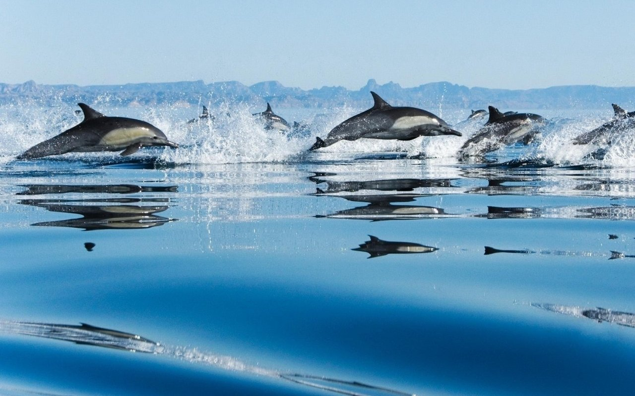 Awesome Dolphin free background ID:248374 for hd 1280x800 PC