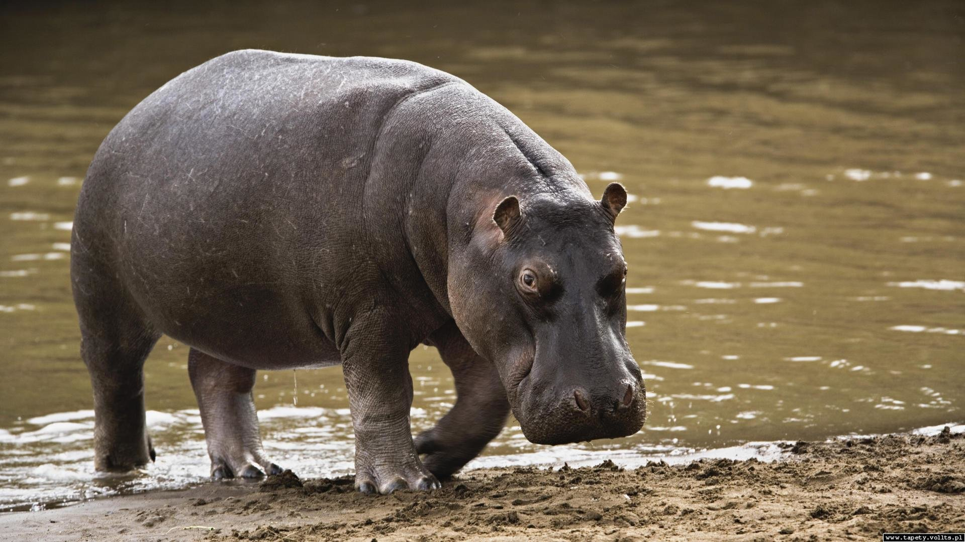 High resolution Hippo full hd 1920x1080 background ID:28835 for PC