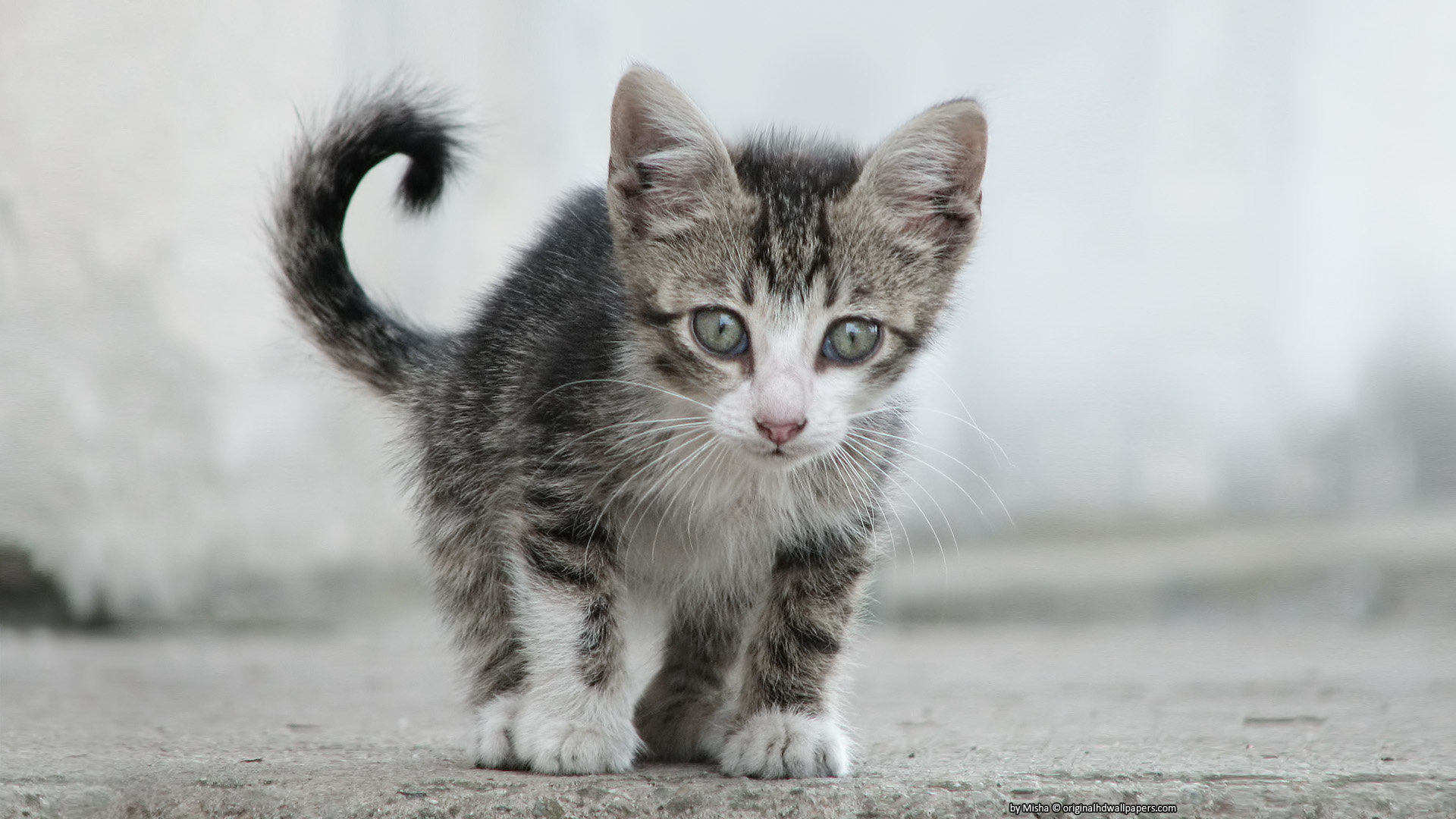 Best Kitten background ID:425843 for High Resolution hd 1920x1080 computer