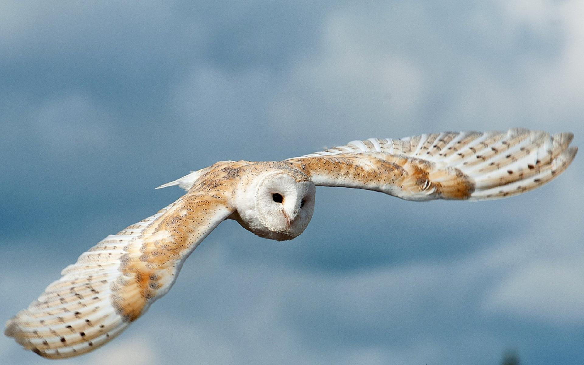 Free download Barn Owl background ID:81553 hd 1920x1200 for computer