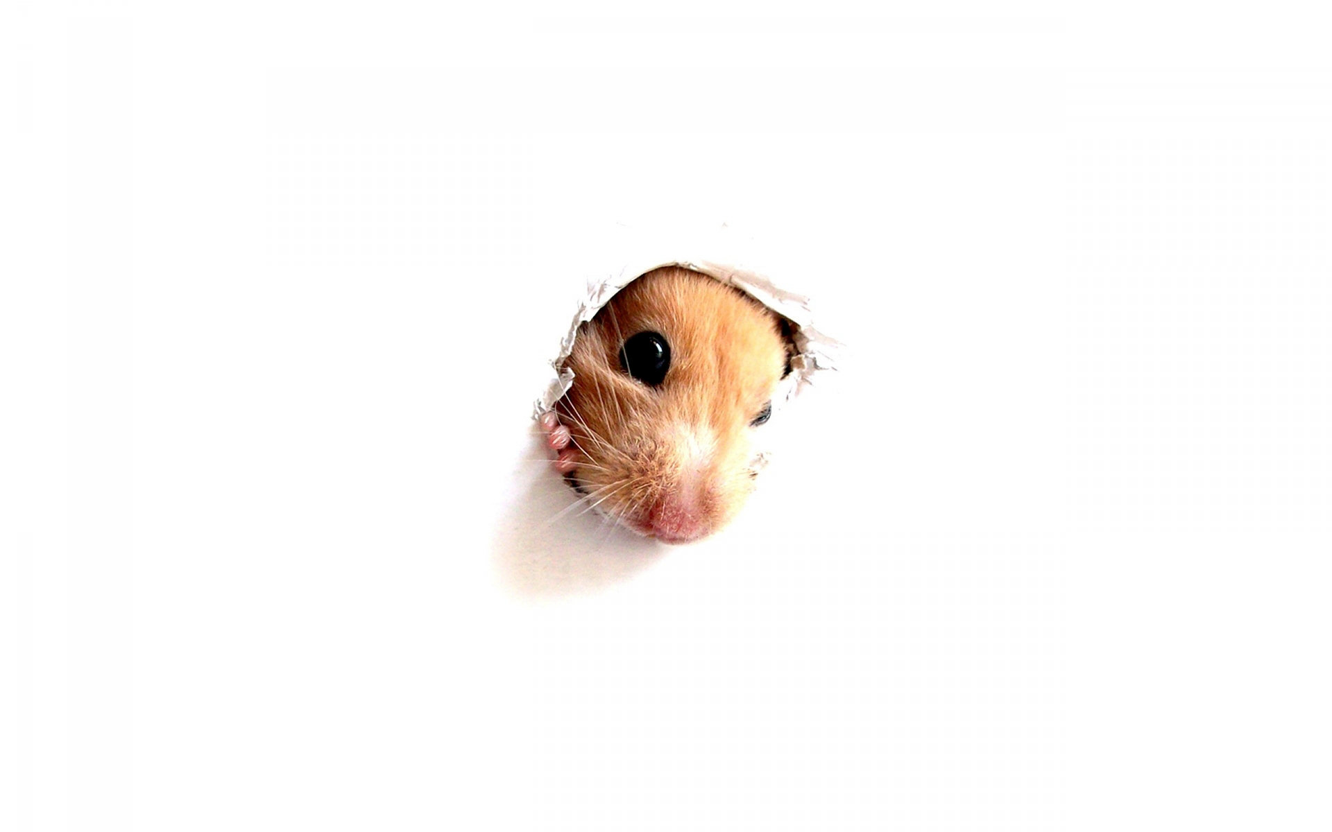 High resolution Hamster hd 1920x1200 background ID:234053 for PC