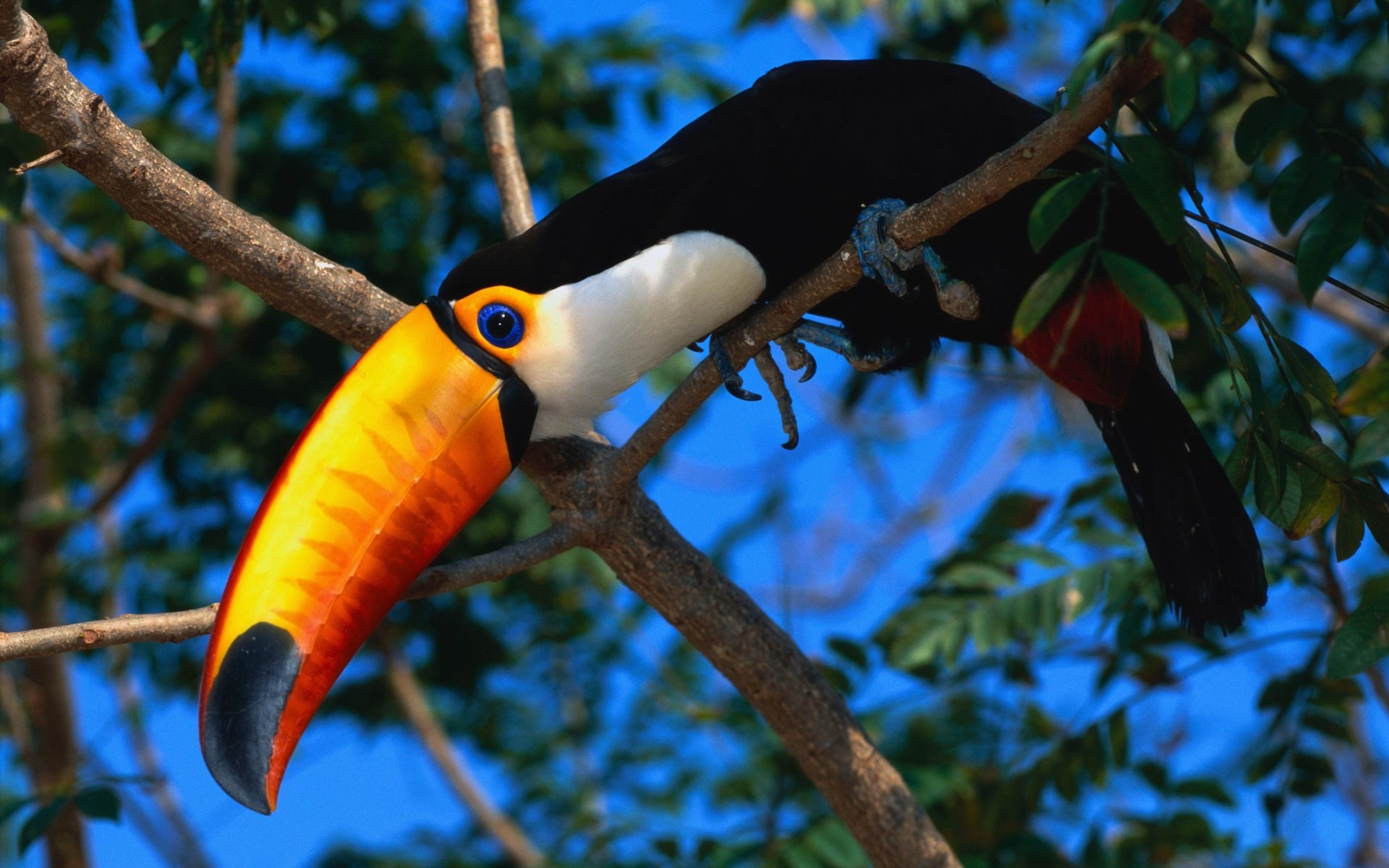 Best Toucan background ID:57312 for High Resolution hd 1920x1200 PC