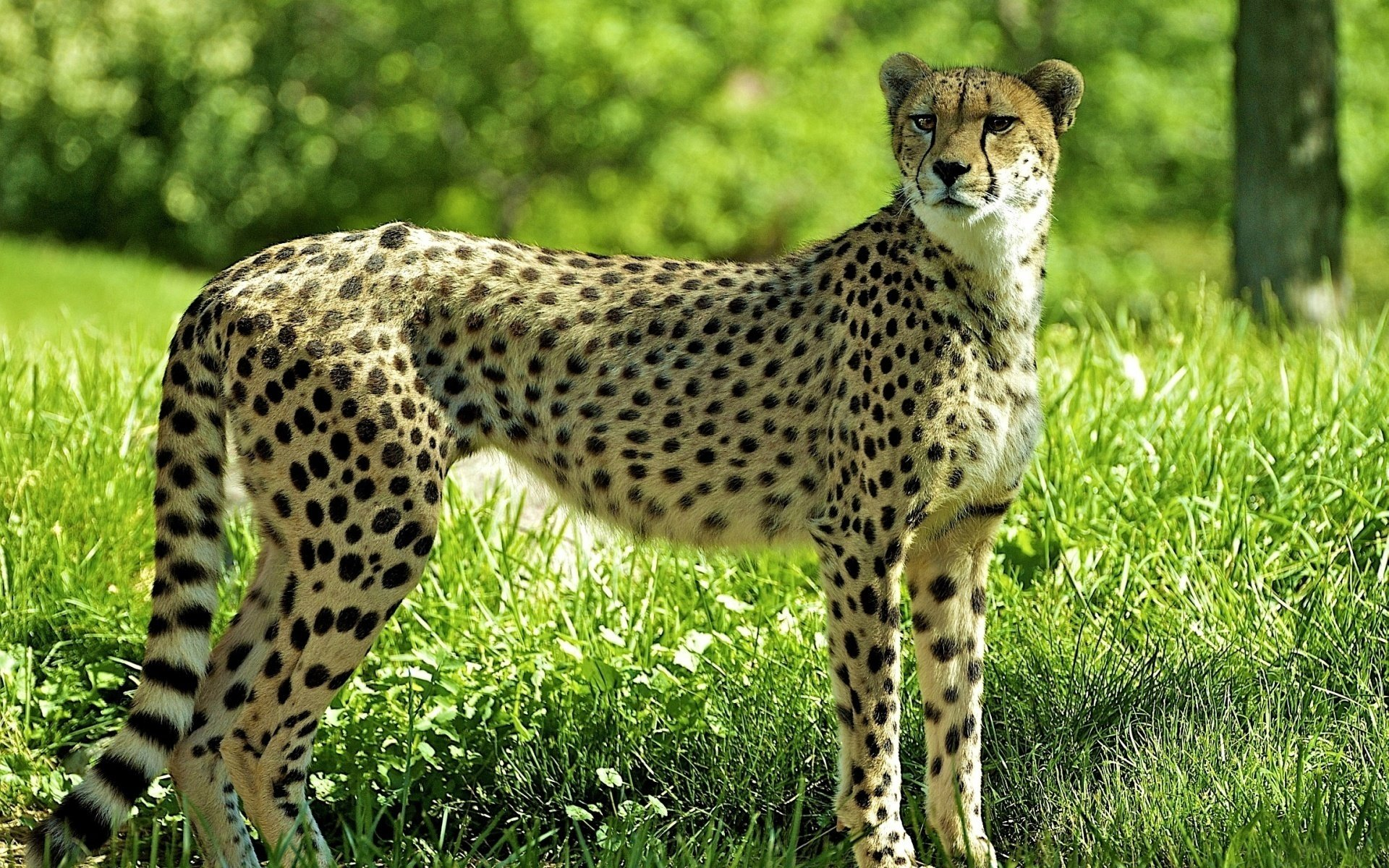 Download hd 1920x1200 Cheetah desktop wallpaper ID:161762 for free