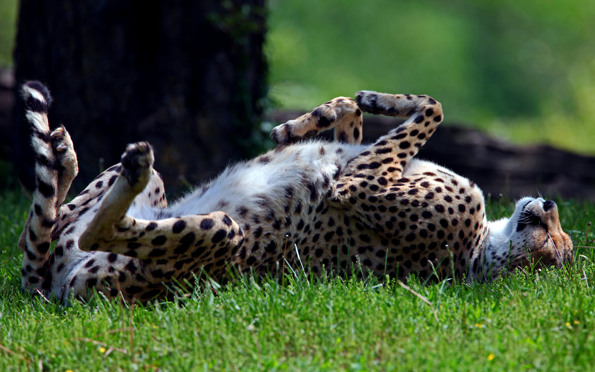 High resolution Cheetah hd 1920x1200 wallpaper ID:161793 for PC