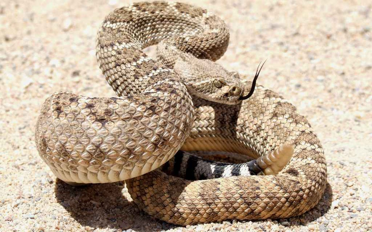 Best Rattlesnake background ID:353135 for High Resolution hd 1280x800 PC