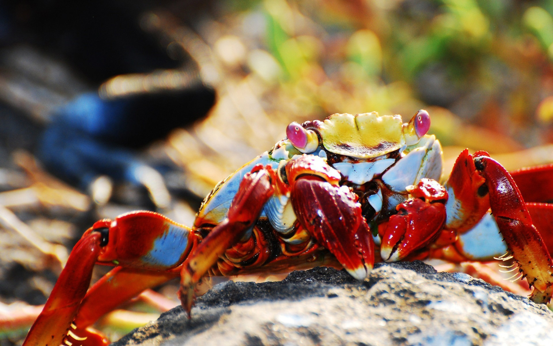 Awesome Crab free background ID:294309 for hd 1920x1200 computer