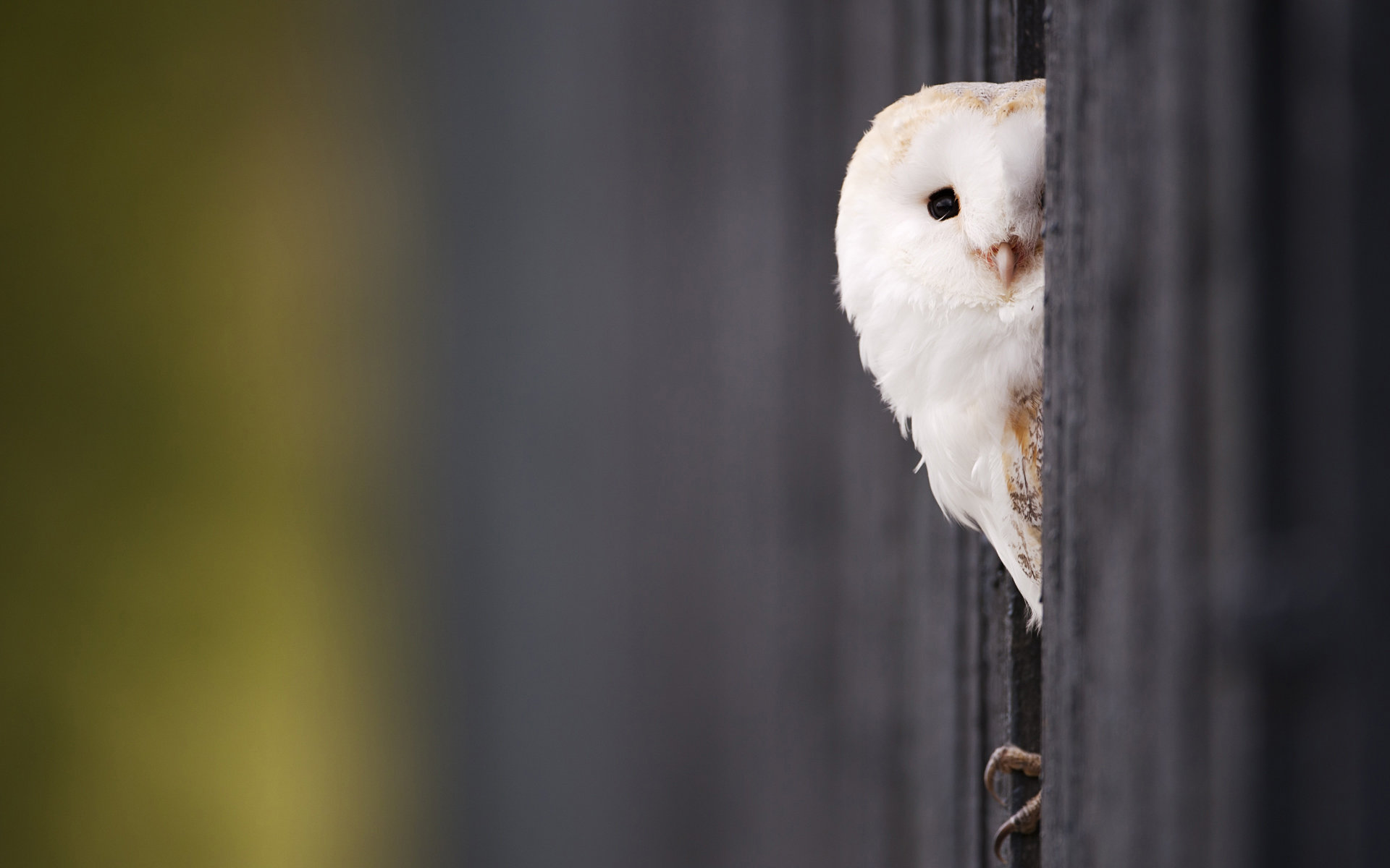 Free Barn Owl high quality background ID:81544 for hd 1920x1200 computer