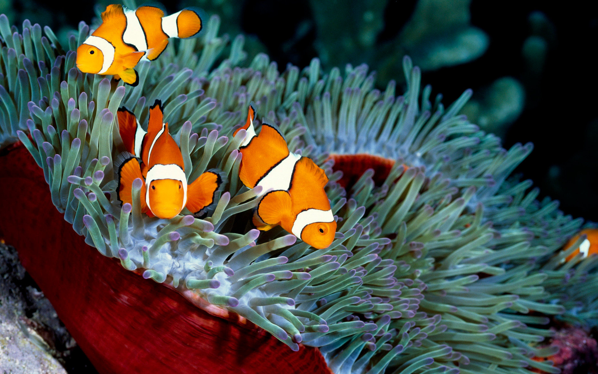 Awesome Clownfish free background ID:53227 for hd 1920x1200 computer