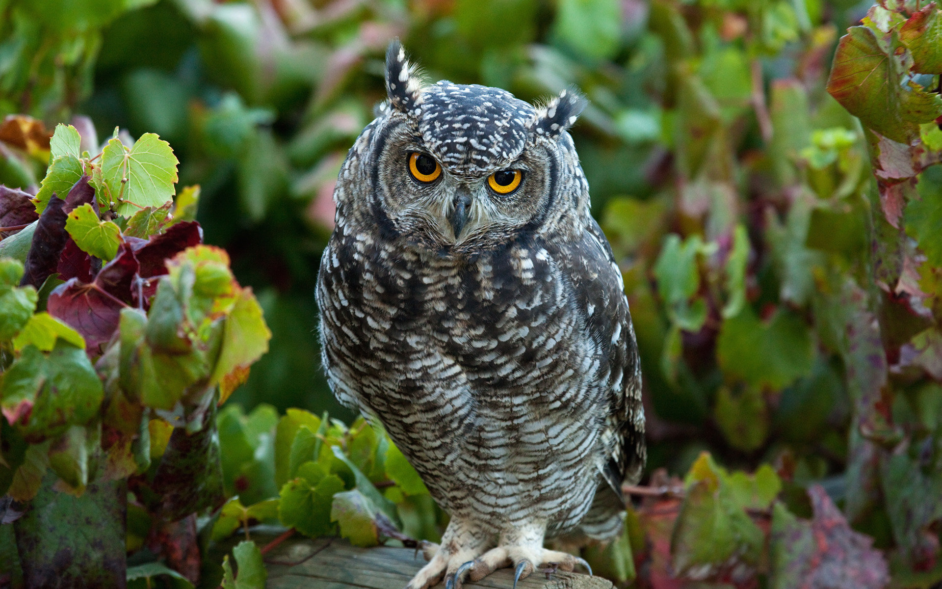 Download hd 1920x1200 Great Horned Owl desktop background ID:297772 for free