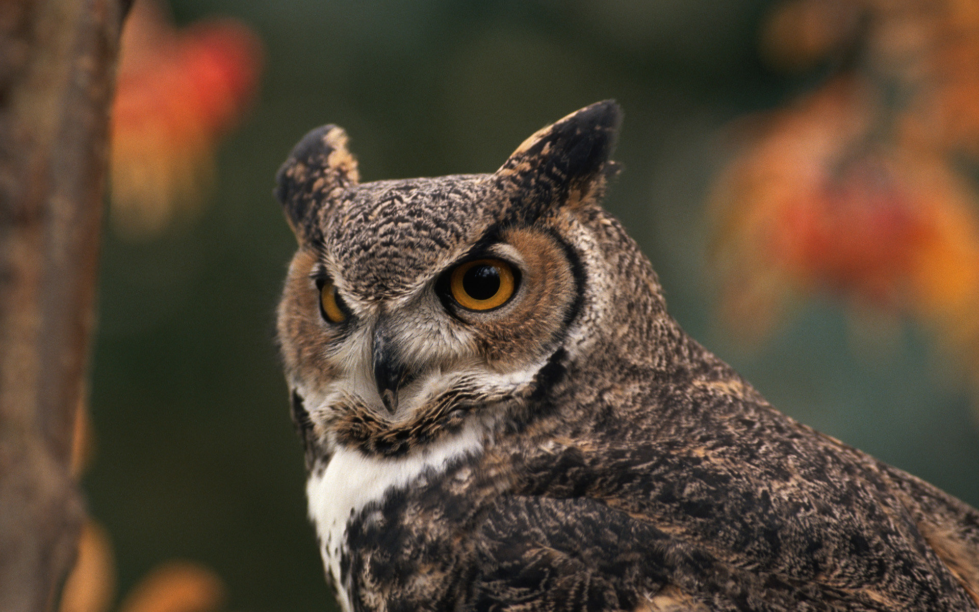 High resolution Great Horned Owl hd 1920x1200 wallpaper ID:297780 for computer