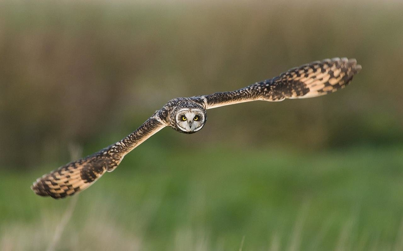 High resolution Owl hd 1280x800 wallpaper ID:236952 for desktop
