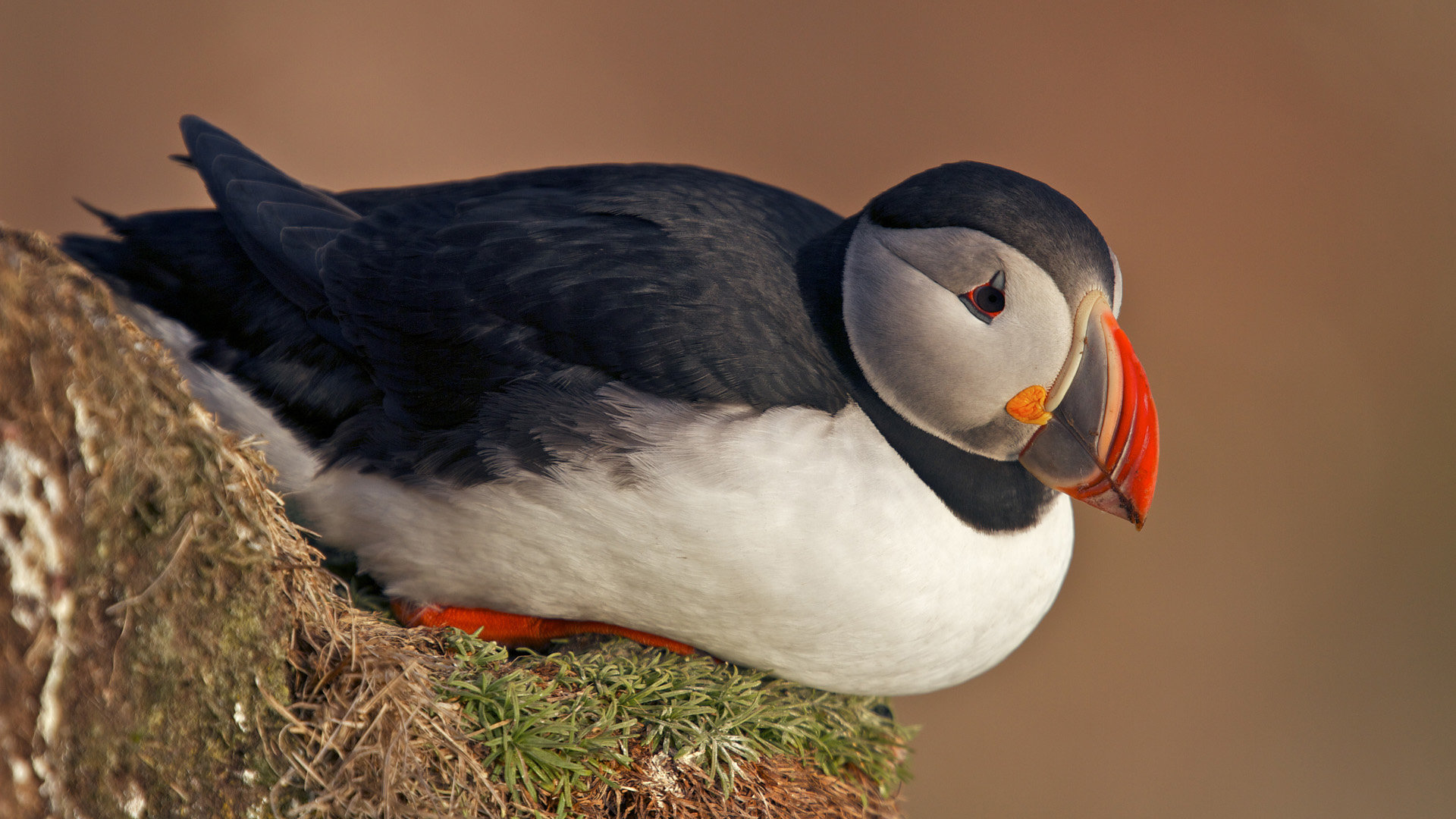 Free Puffin high quality background ID:193204 for full hd computer