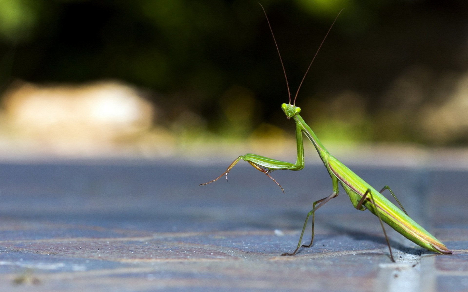 Awesome Praying Mantis free background ID:156423 for hd 1920x1200 PC