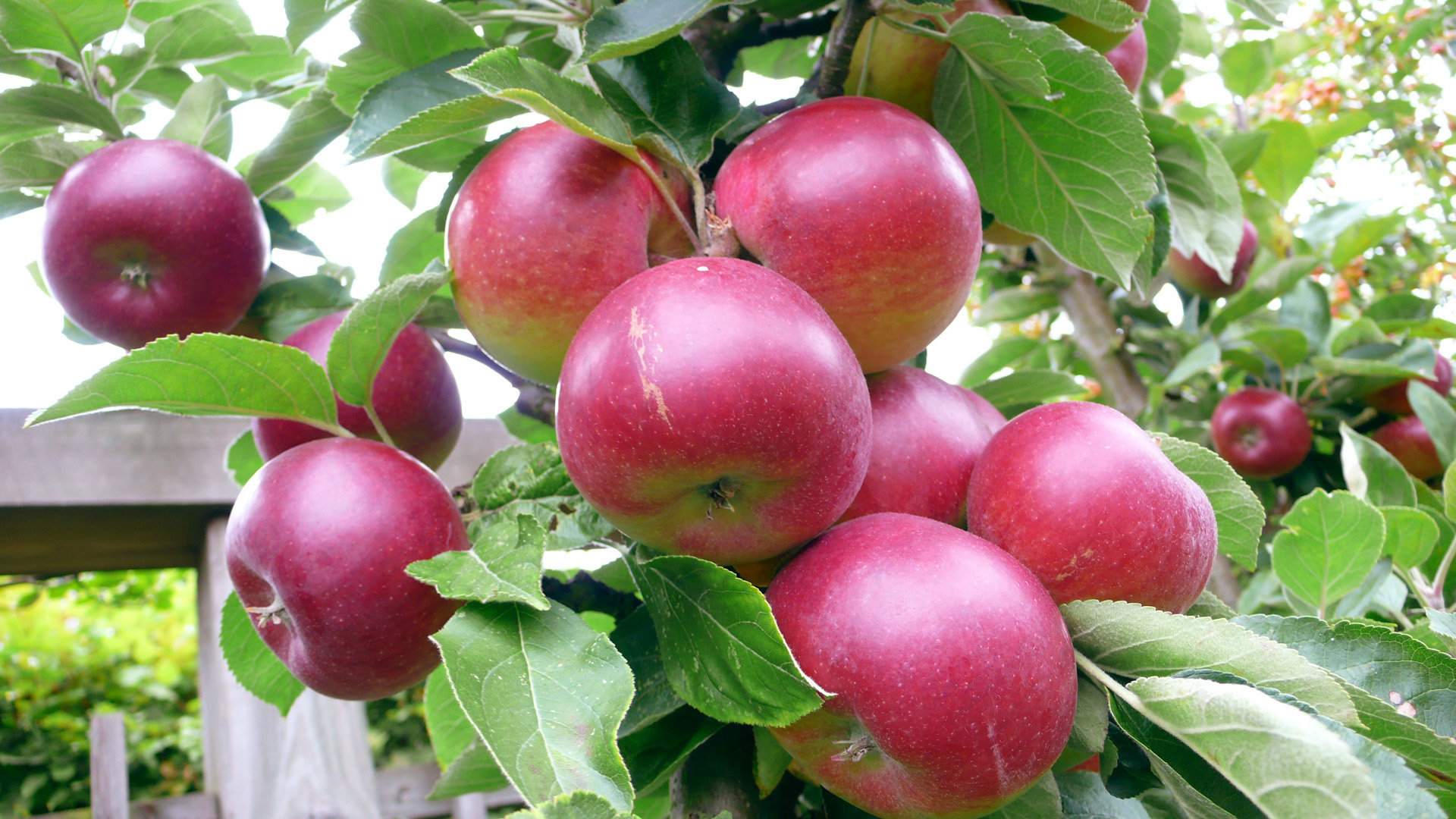 Best Apple fruit wallpaper ID:295948 for High Resolution full hd 1080p desktop