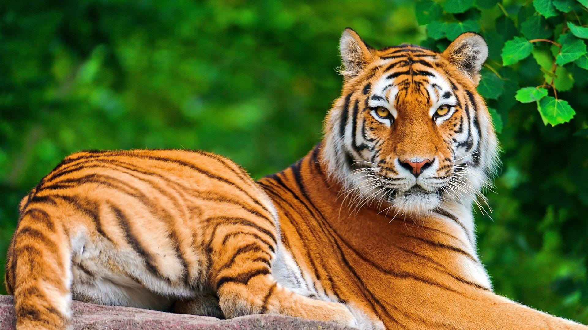 Awesome Tiger free background ID:115658 for hd 1920x1080 desktop