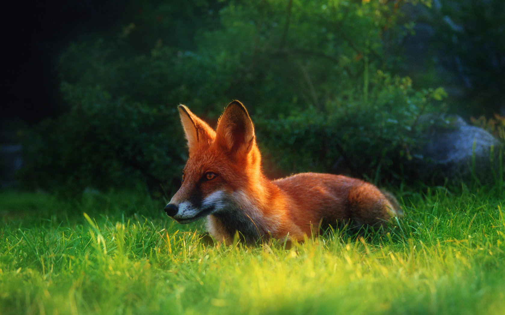 Awesome Fox free wallpaper ID:58882 for hd 1680x1050 PC