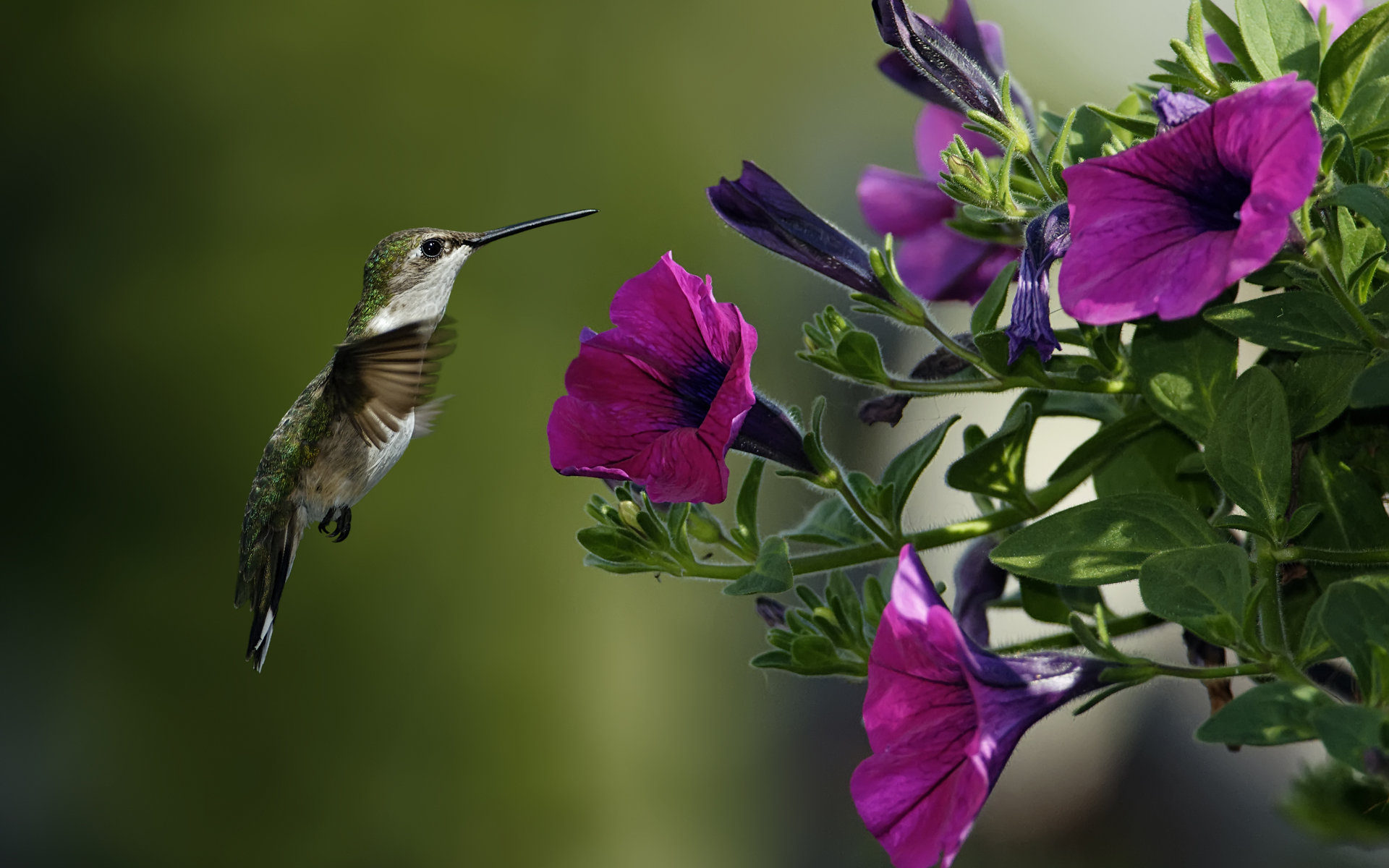 Download hd 1920x1200 Hummingbird PC wallpaper ID:215732 for free