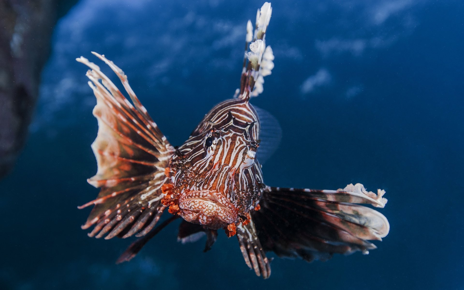 Download hd 1920x1200 Lionfish computer background ID:438236 for free