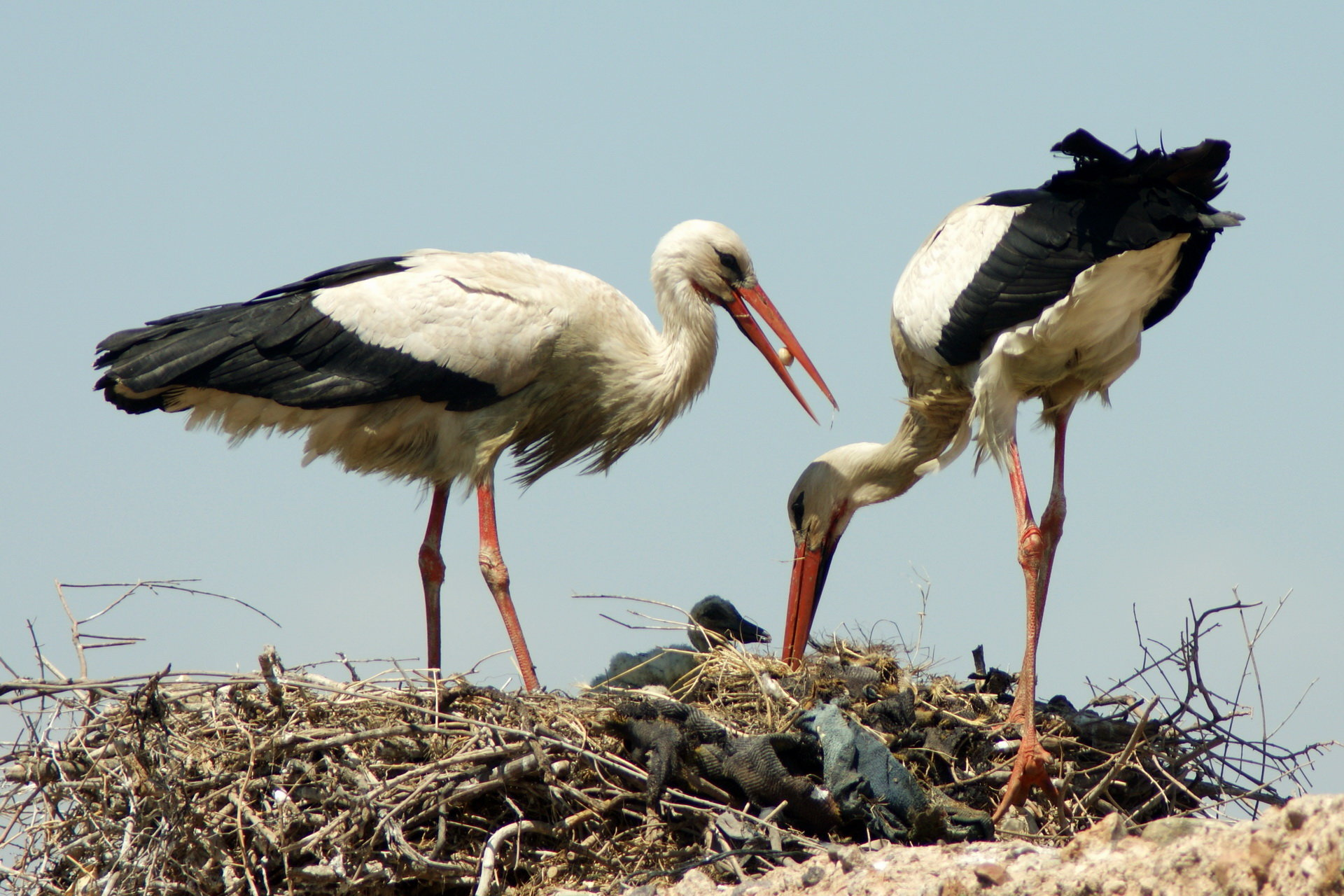 Download hd 1920x1280 White Stork computer wallpaper ID:9575 for free