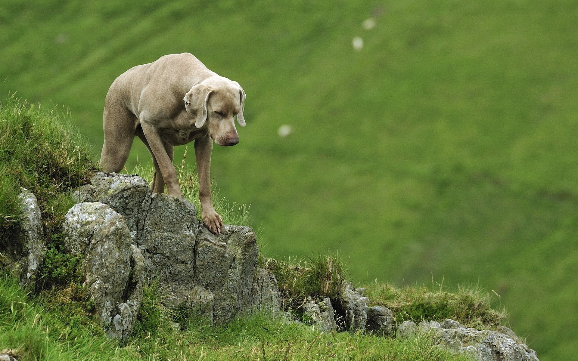 Best Weimaraner wallpaper ID:9647 for High Resolution hd 1920x1200 PC
