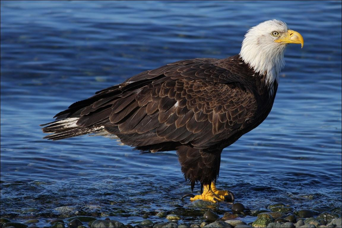 Awesome American Bald Eagle free wallpaper ID:68602 for hd 1152x768 PC
