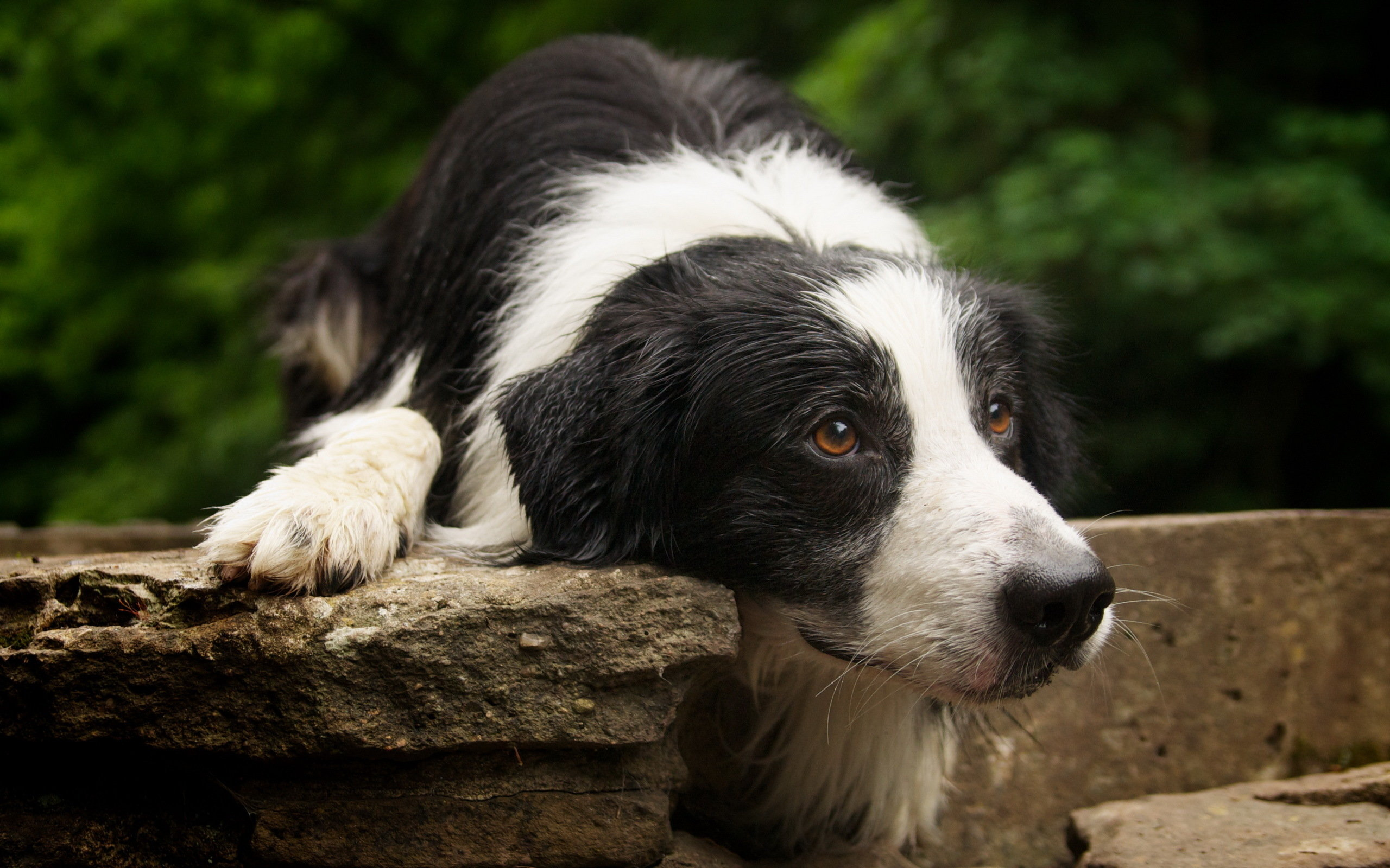 Best Border Collie wallpaper ID:165847 for High Resolution hd 2560x1600 desktop