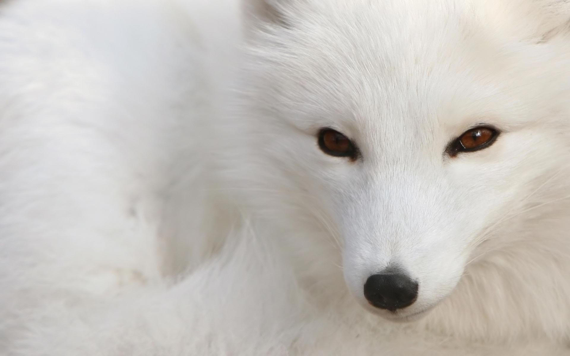 High resolution Arctic Fox hd 1920x1200 background ID:98731 for computer