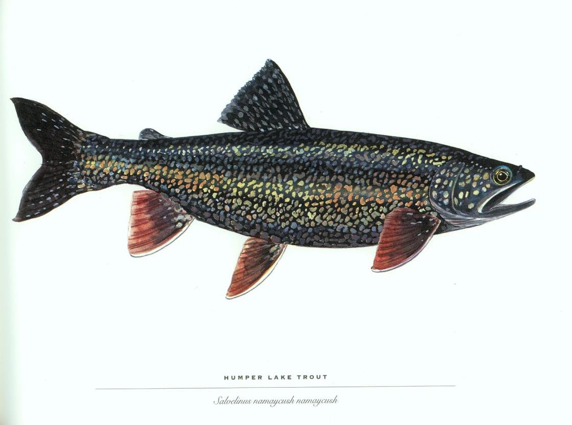Best Trout background ID:184690 for High Resolution hd 1120x832 desktop
