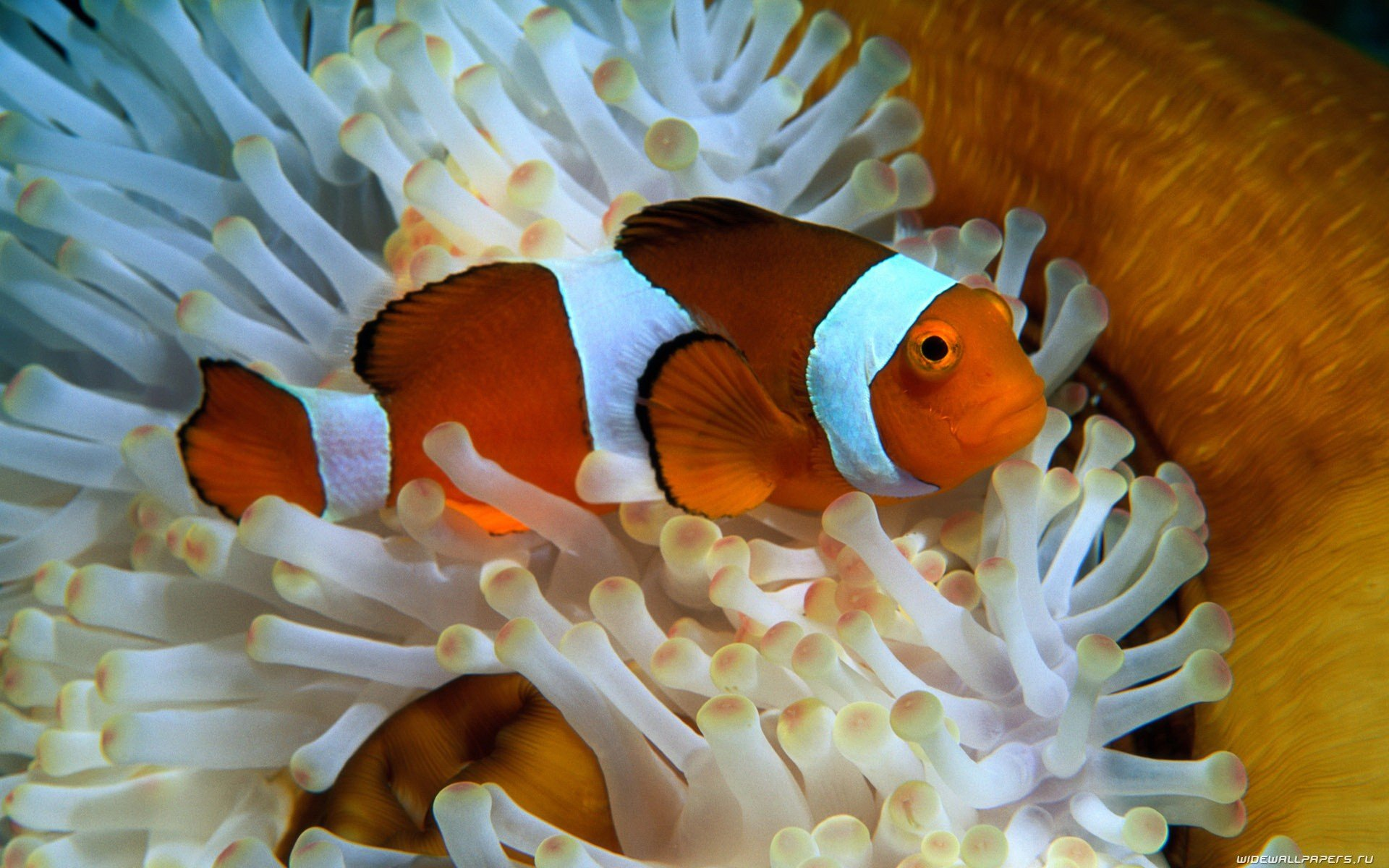 Best Clownfish wallpaper ID:53255 for High Resolution hd 1920x1200 desktop