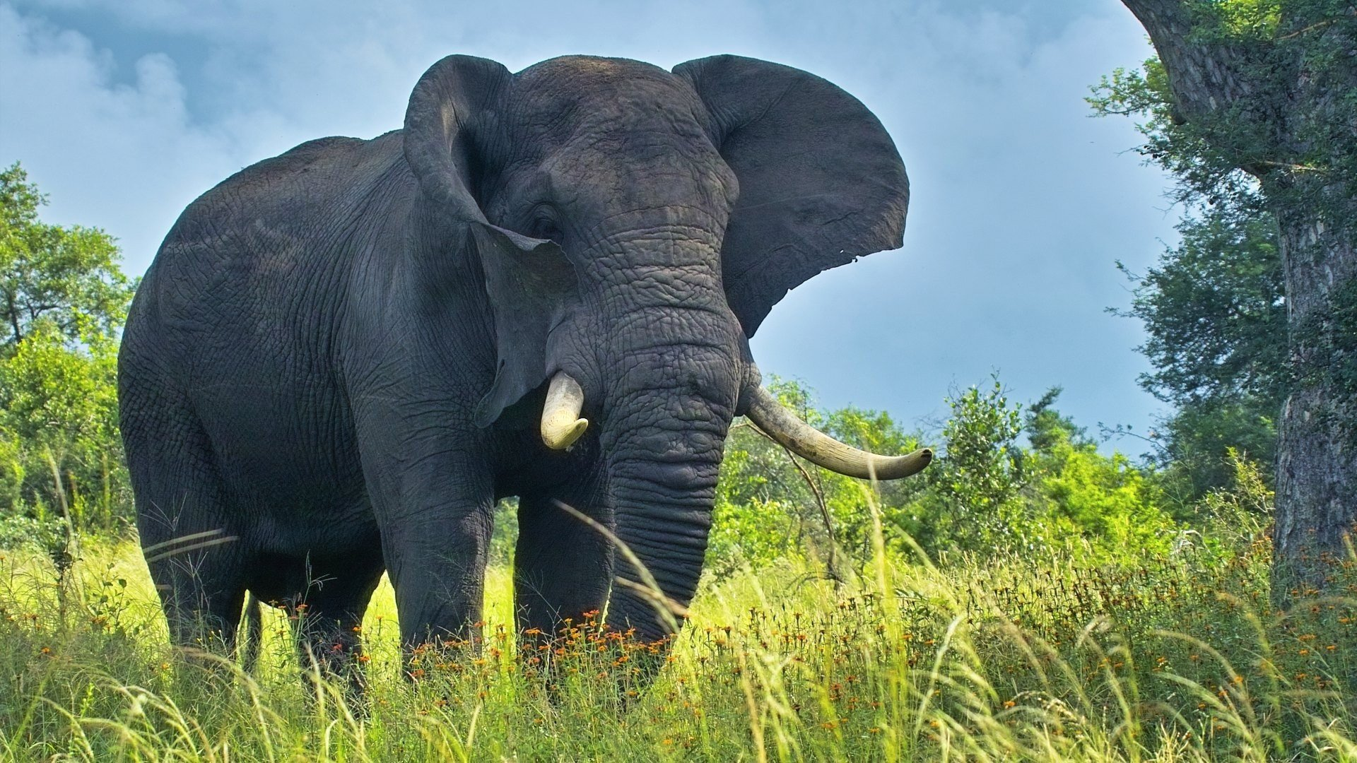 Awesome Elephant free background ID:132766 for hd 1080p PC