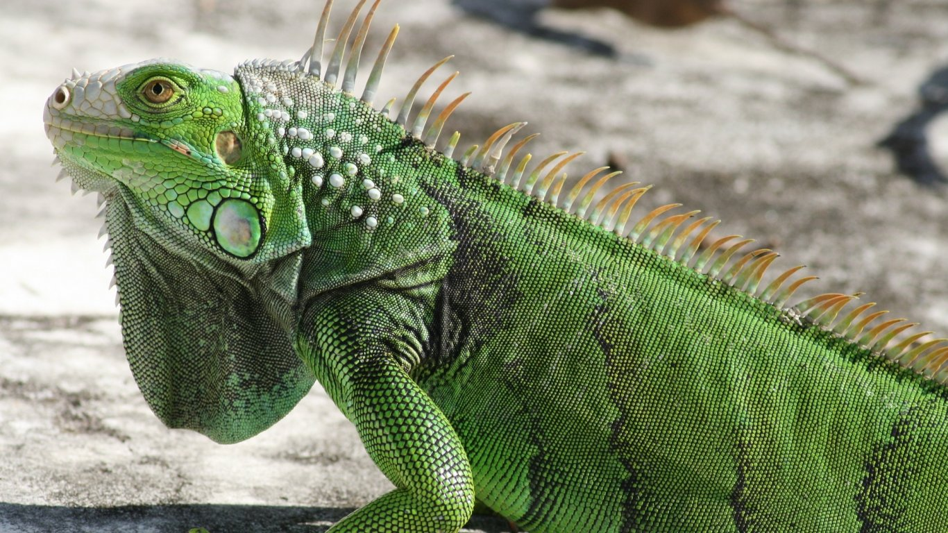 Best Iguana wallpaper ID:380967 for High Resolution hd 1366x768 desktop