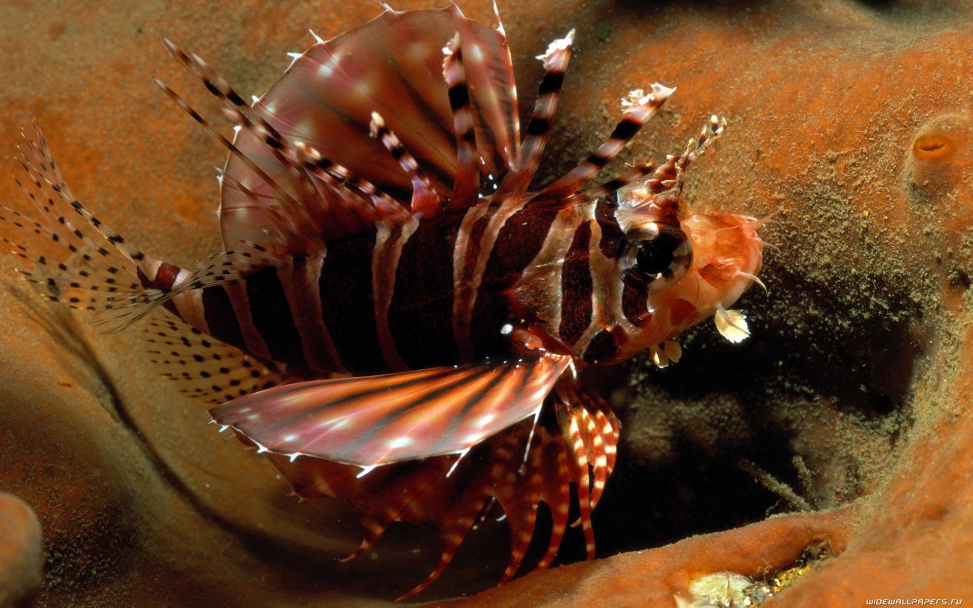 Free download Lionfish background ID:438226 hd 1920x1200 for computer