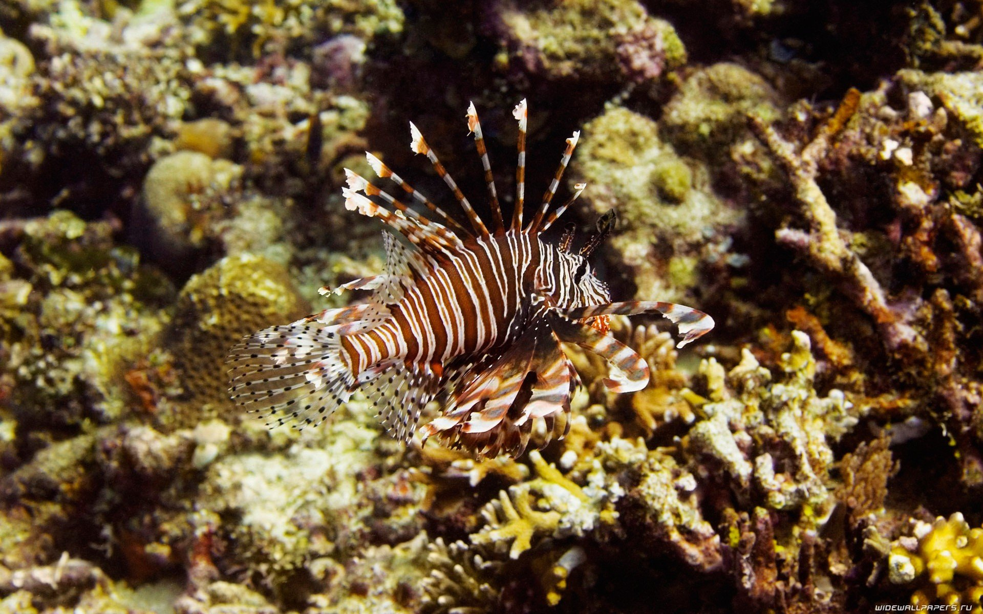 Free download Lionfish background ID:438237 hd 1920x1200 for PC