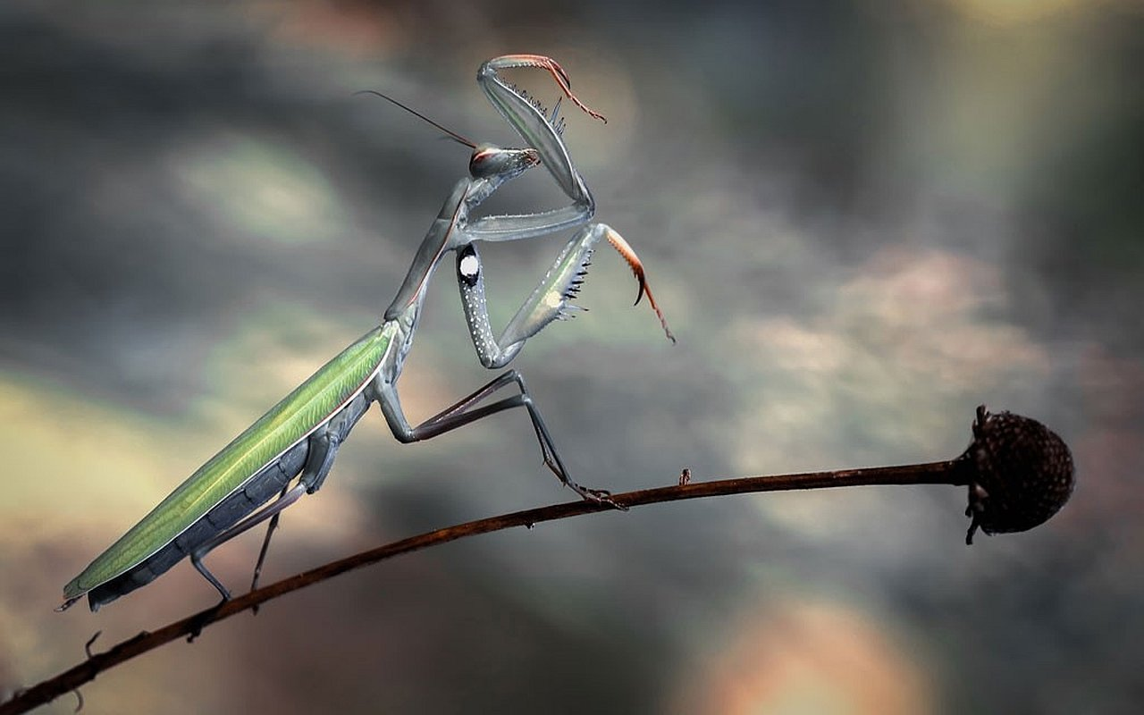Awesome Praying Mantis free wallpaper ID:156418 for hd 1280x800 computer