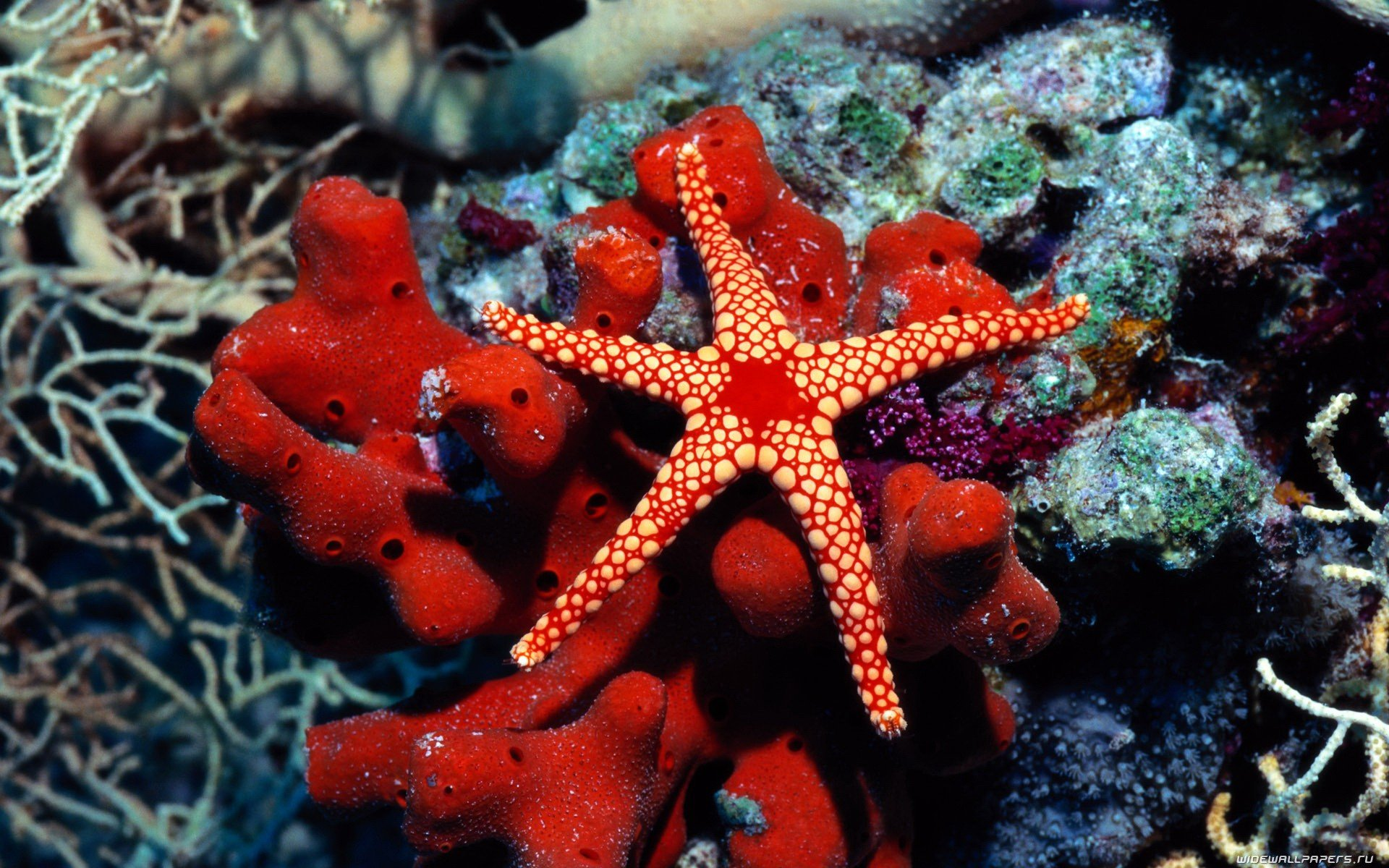 Free Starfish high quality background ID:29715 for hd 1920x1200 PC