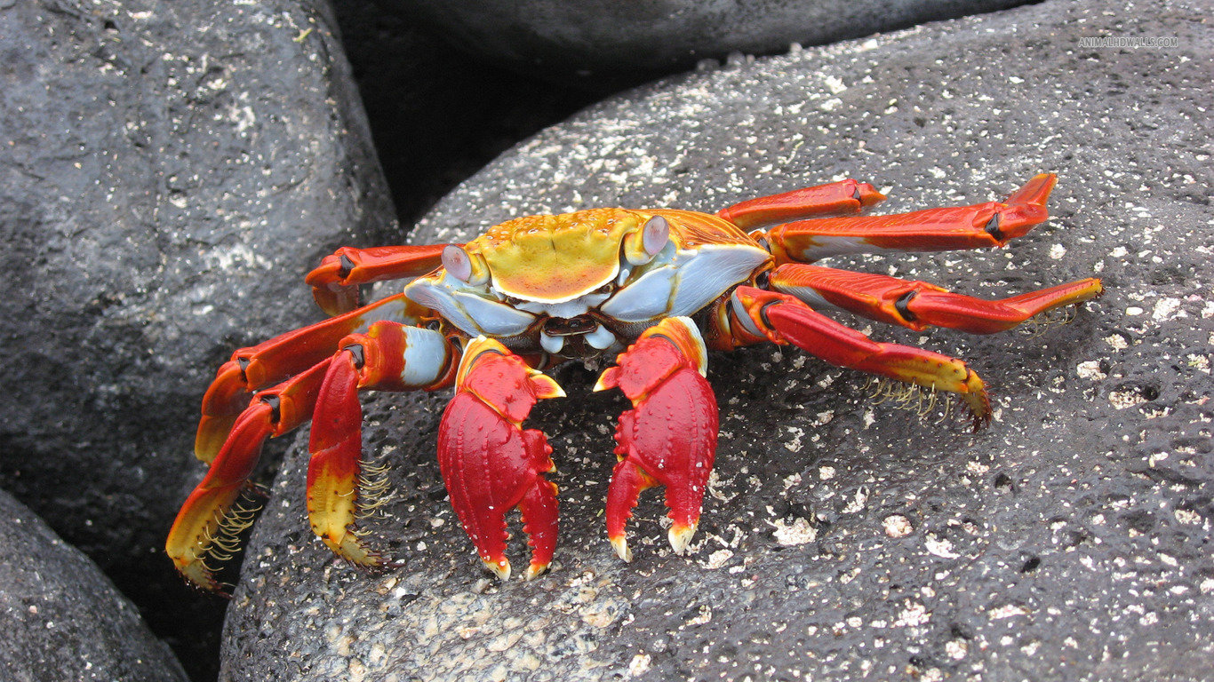 High resolution Crab hd 1366x768 background ID:294291 for desktop