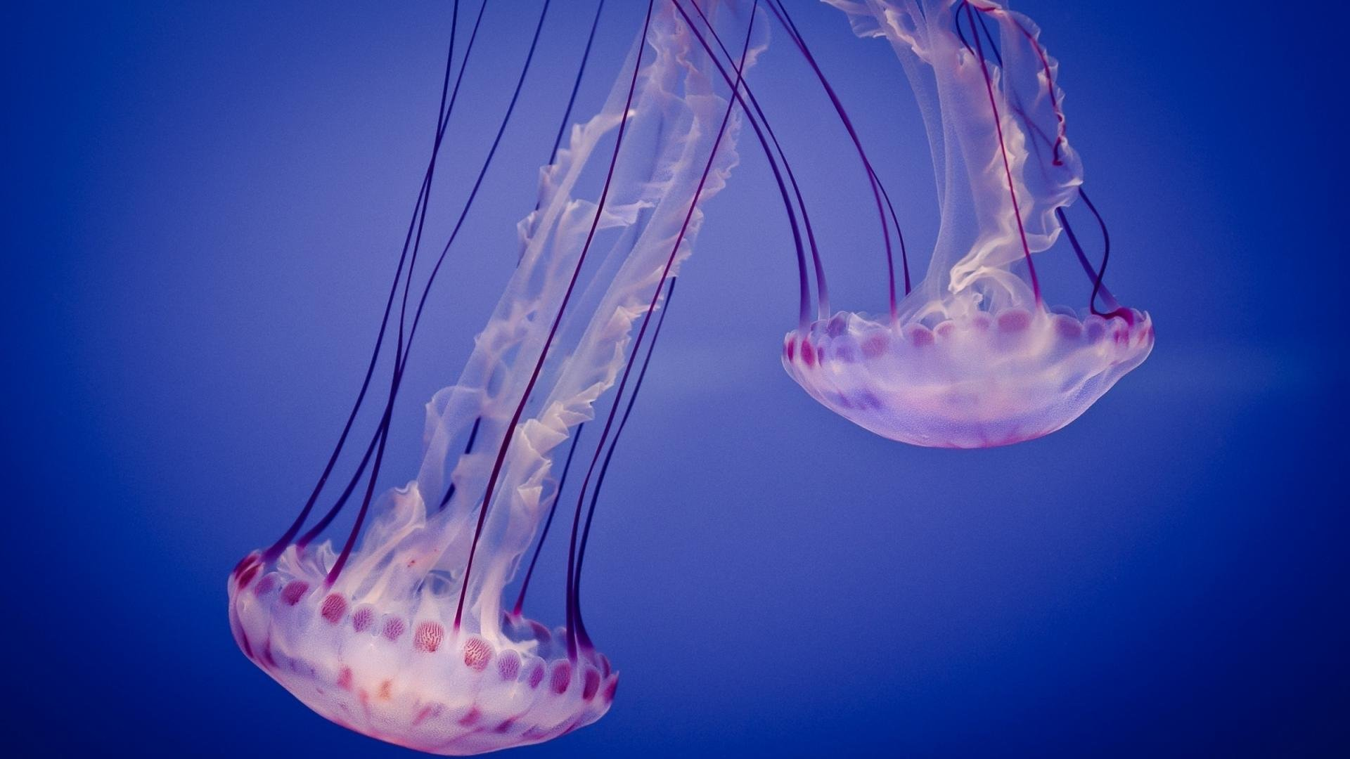 Awesome Jellyfish free background ID:199742 for 1080p PC