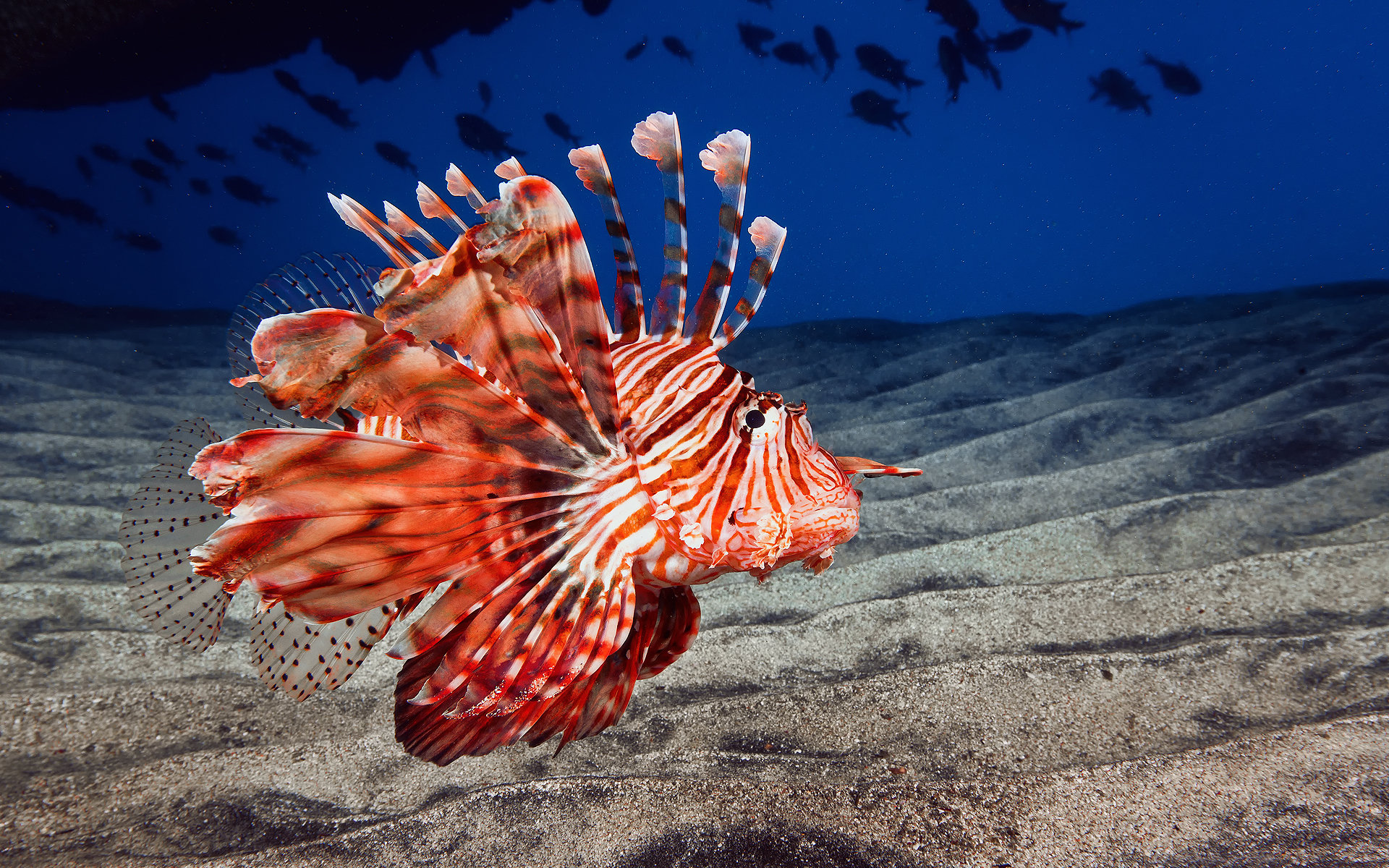 Download hd 1920x1200 Lionfish desktop wallpaper ID:438228 for free