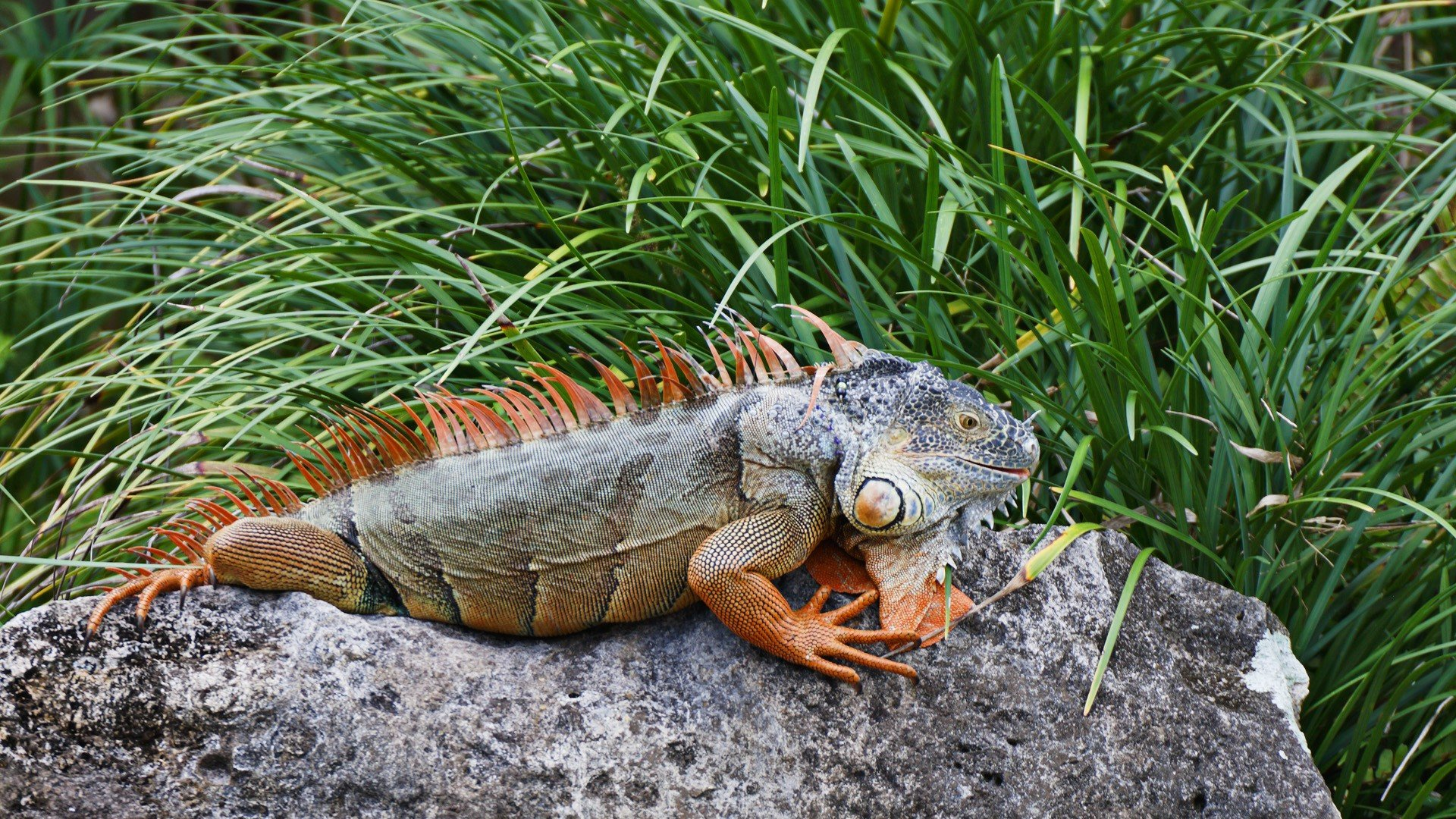 High resolution Iguana full hd background ID:380950 for computer