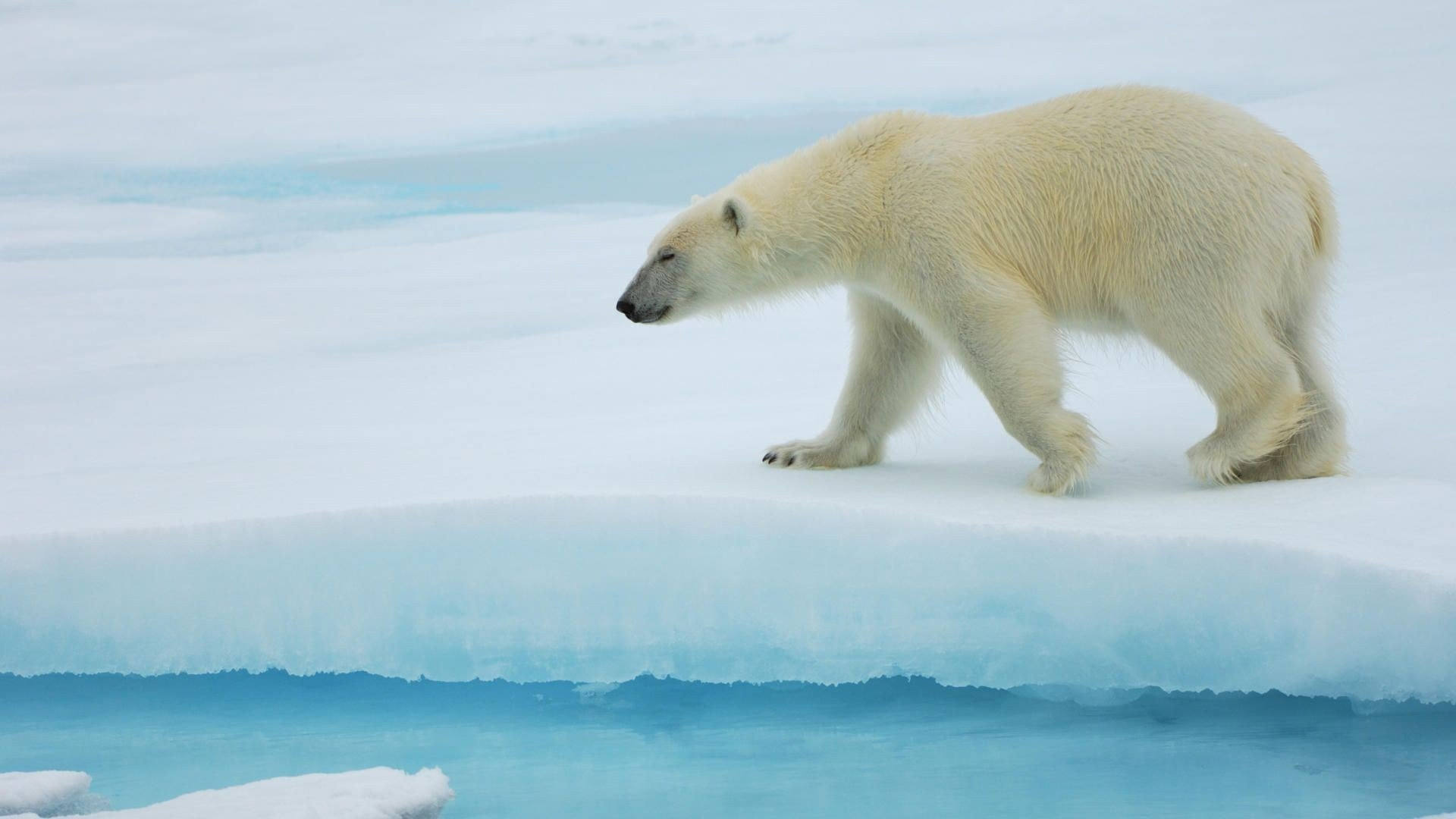 Free Polar Bear high quality background ID:359952 for full hd 1920x1080 computer