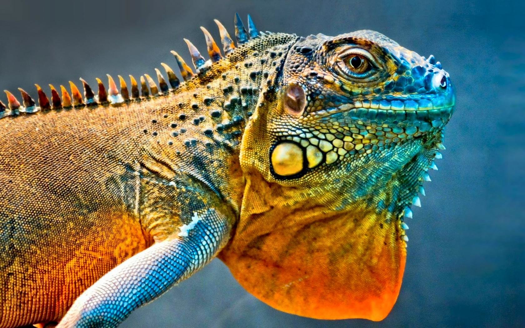 Best Iguana background ID:380991 for High Resolution hd 1680x1050 PC