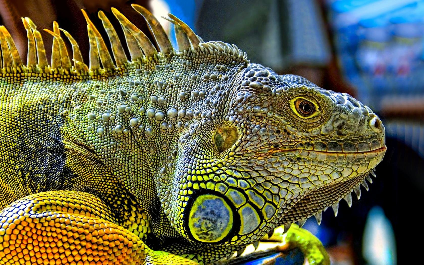 High resolution Iguana hd 1680x1050 wallpaper ID:380990 for desktop