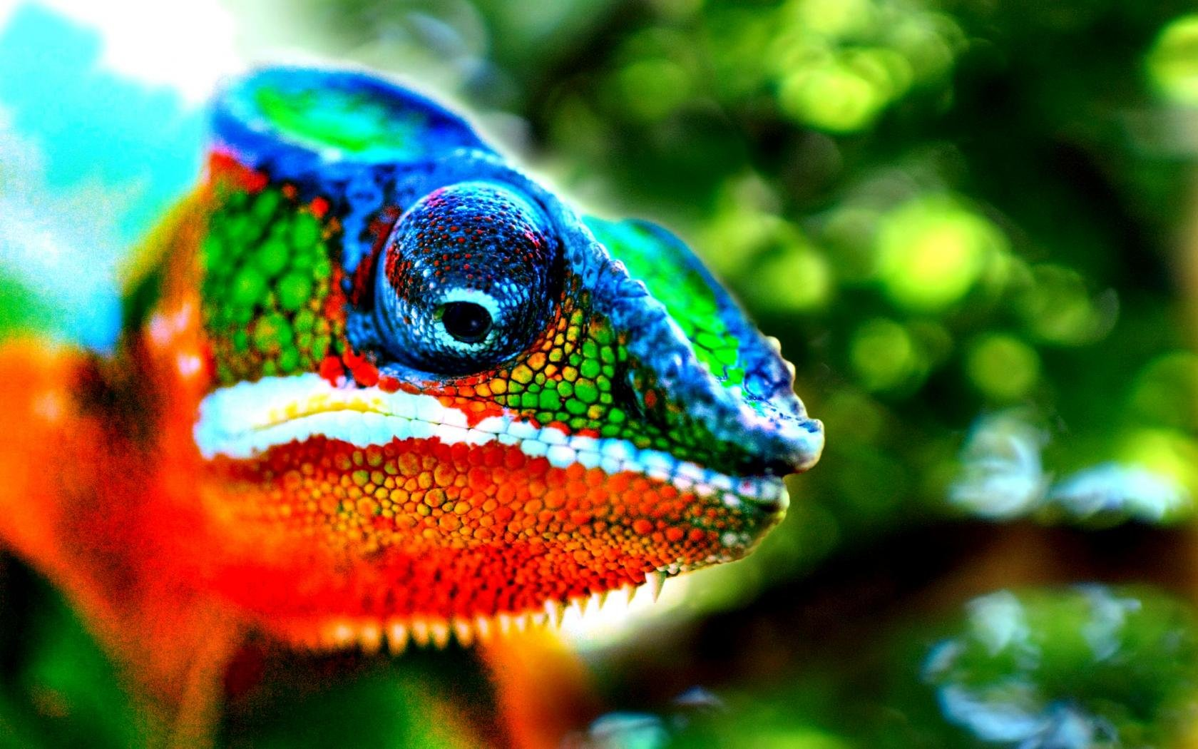 Download hd 1680x1050 Chameleon PC background ID:462615 for free