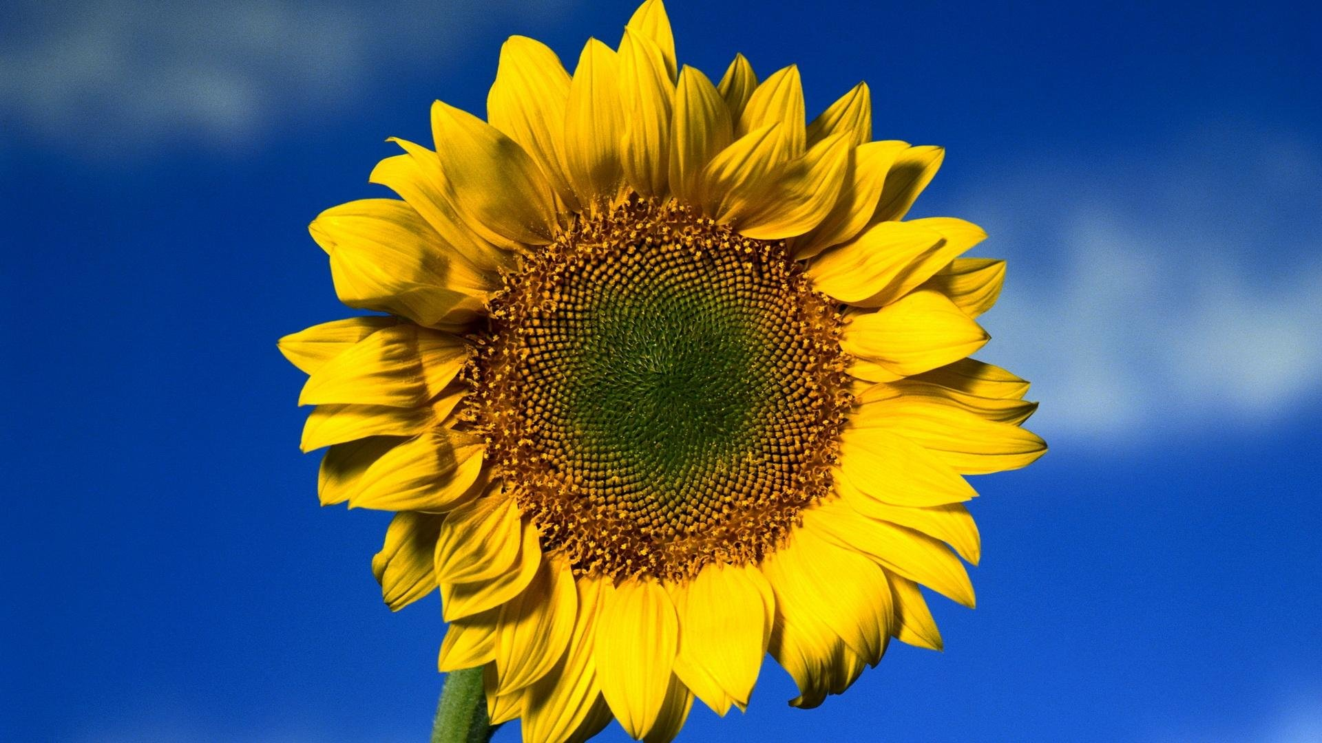 Sunflower wallpapers 1920x1080 Full HD (1080p) desktop ...