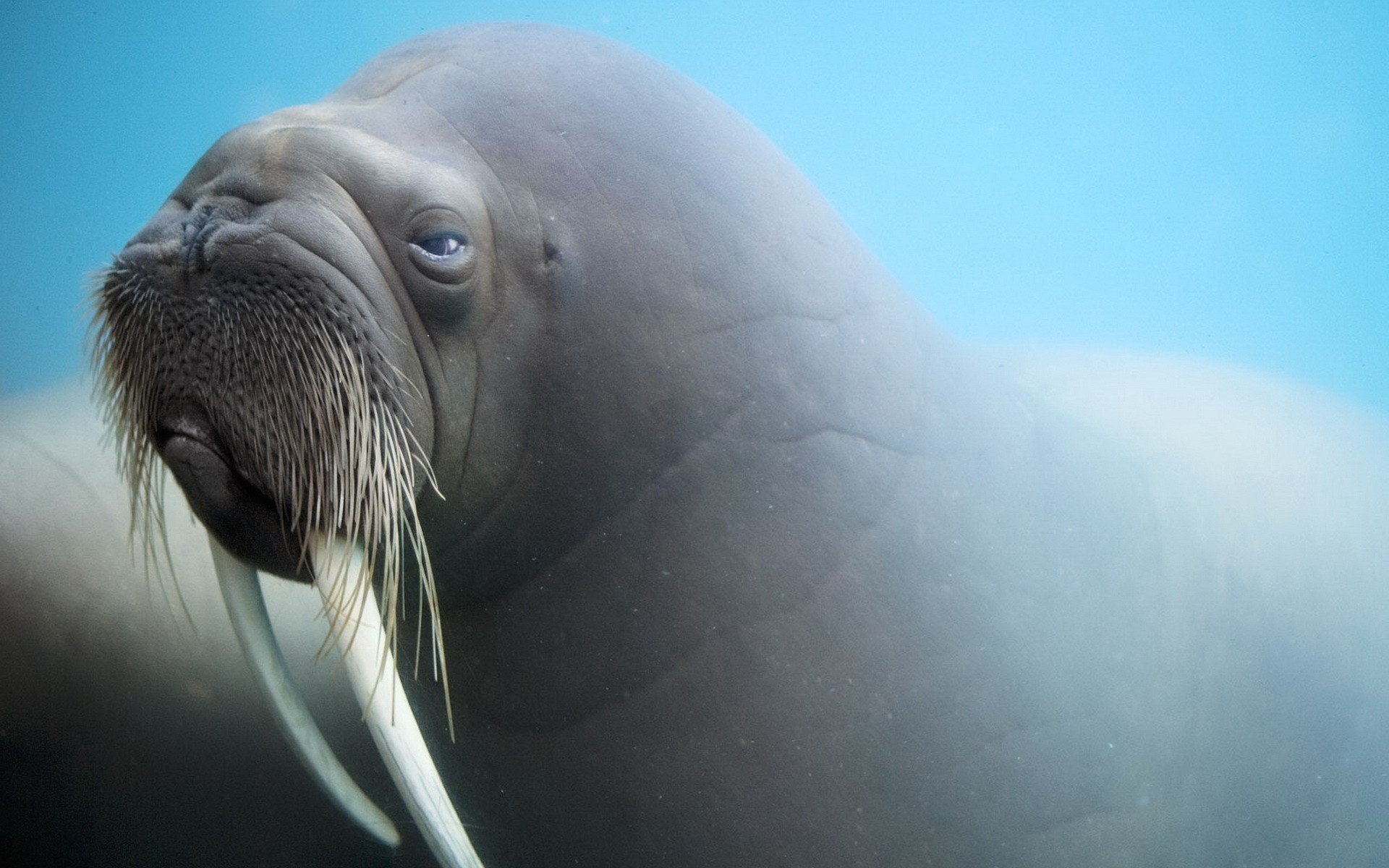 Free download Walrus wallpaper ID:394824 hd 1920x1200 for desktop
