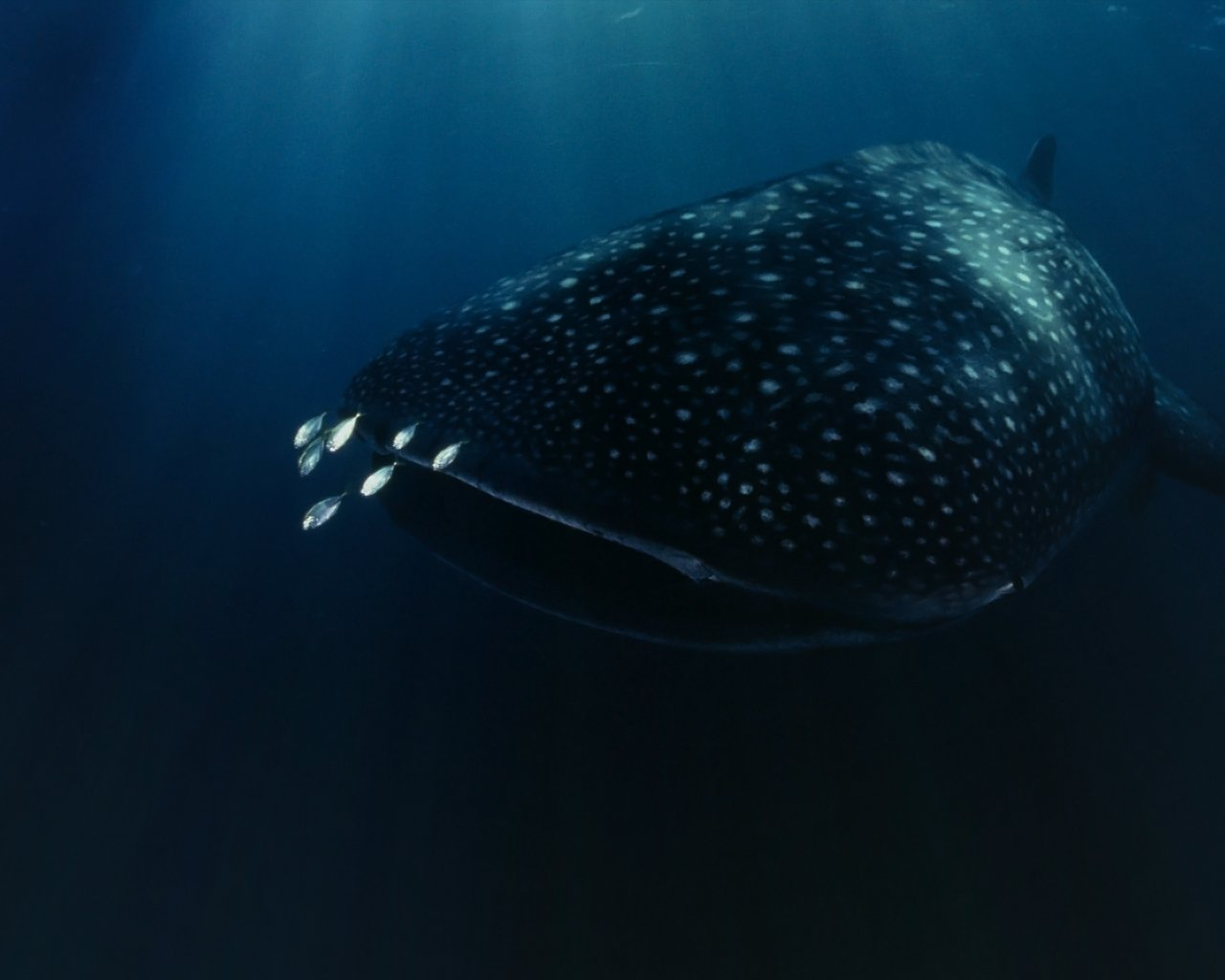 Download hd 1280x1024 Whale Shark computer wallpaper ID:134828 for free